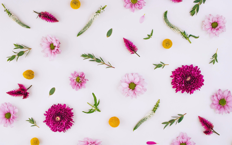 Fondos De Pantalla Flores Rosadas, Crisantemo, Fondo