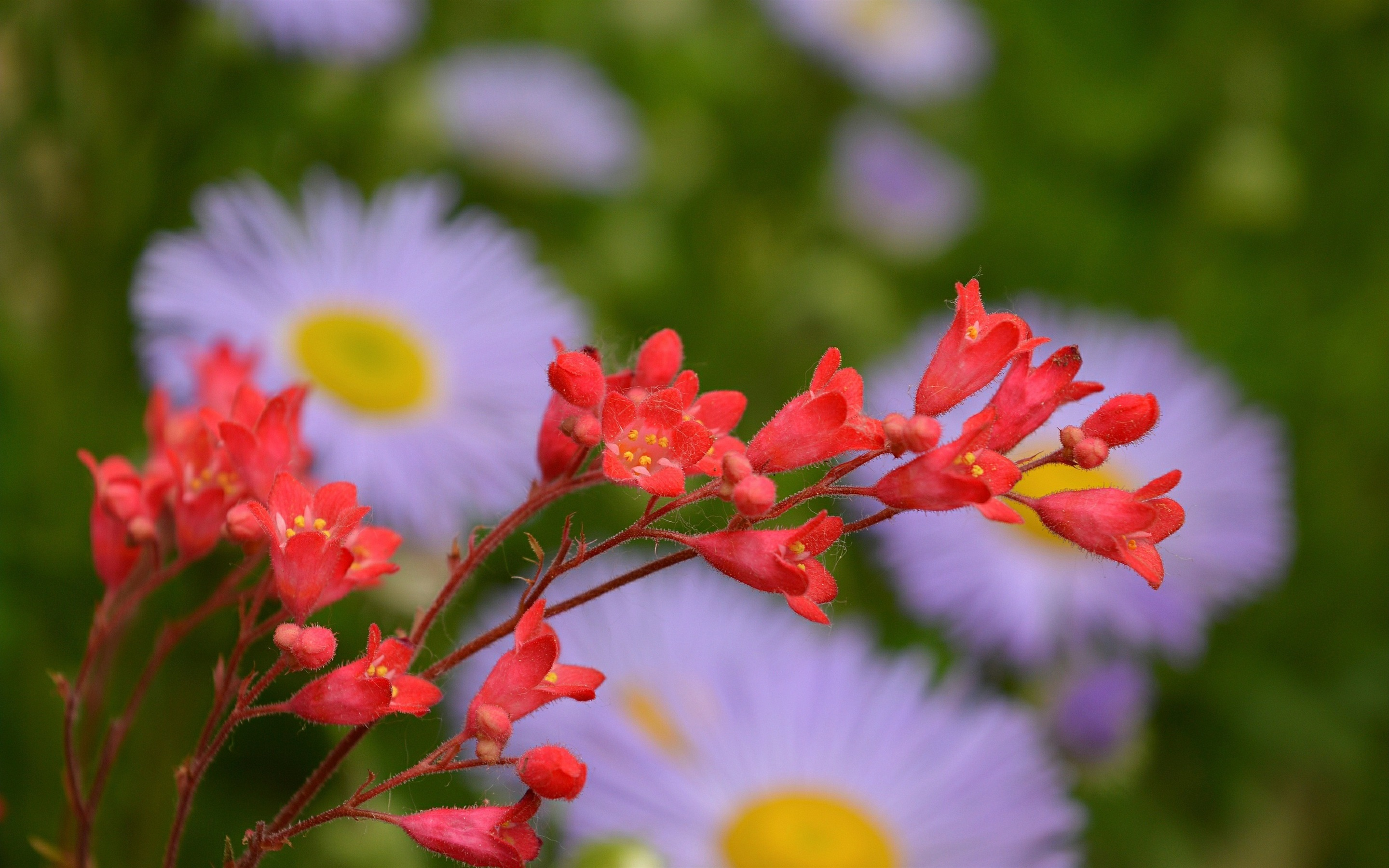 Wallpaper Spring Red Flowers Close Up 2880x1800 Hd Picture Image