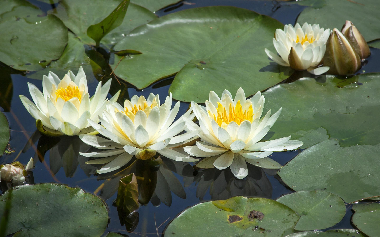 картинки цветов водоемов с названиями творчества художника любовь