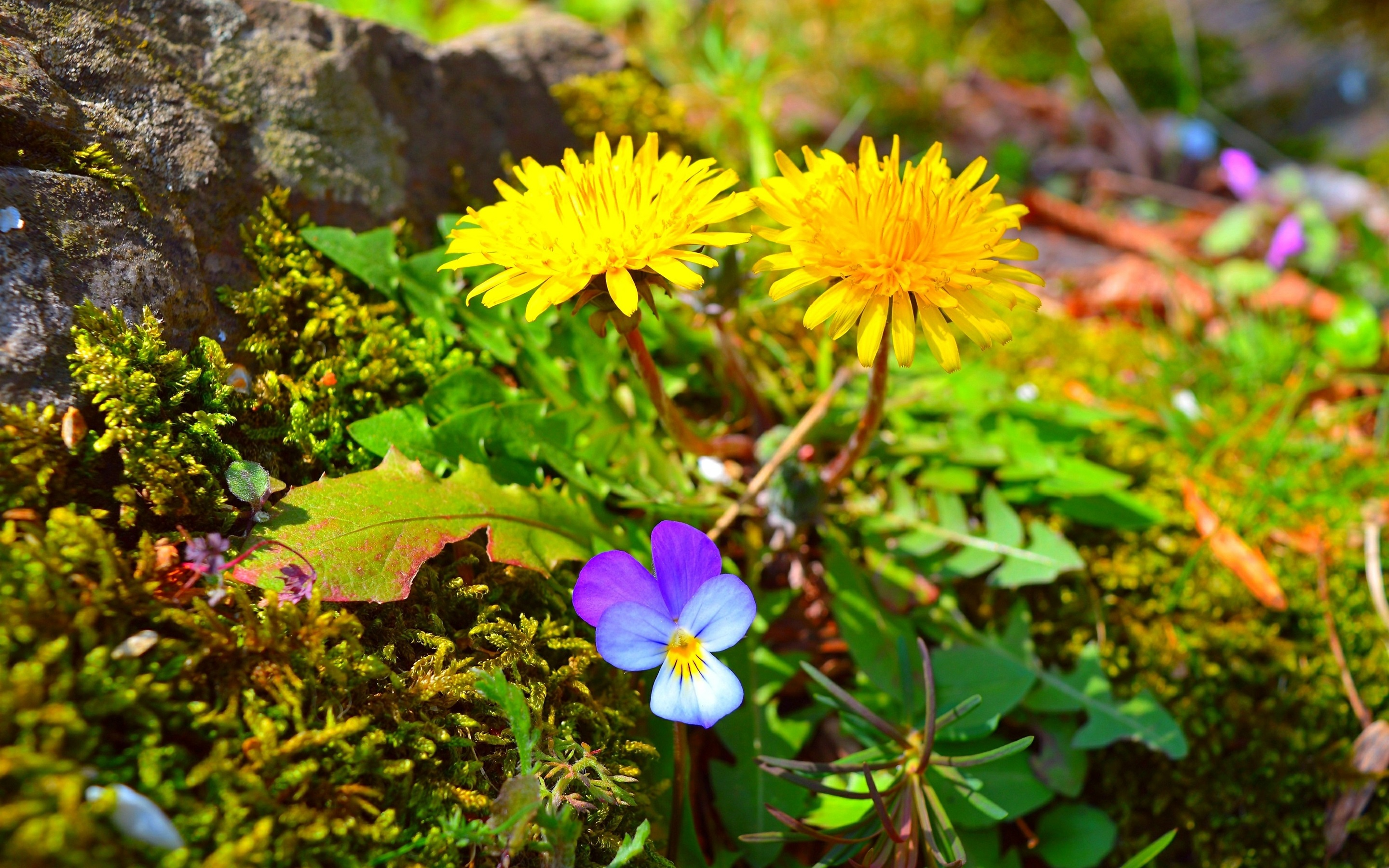 Wallpaper Spring Yellow And Purple Flowers 2880x1800 Hd Picture Image