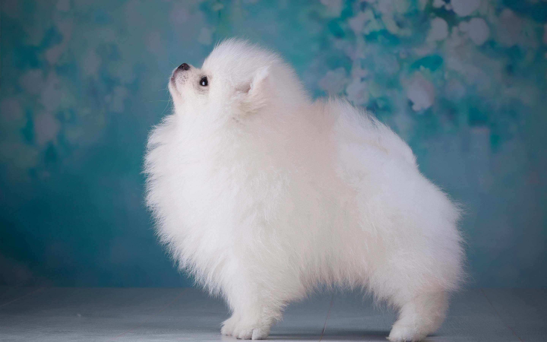 Cachorro do cabelão