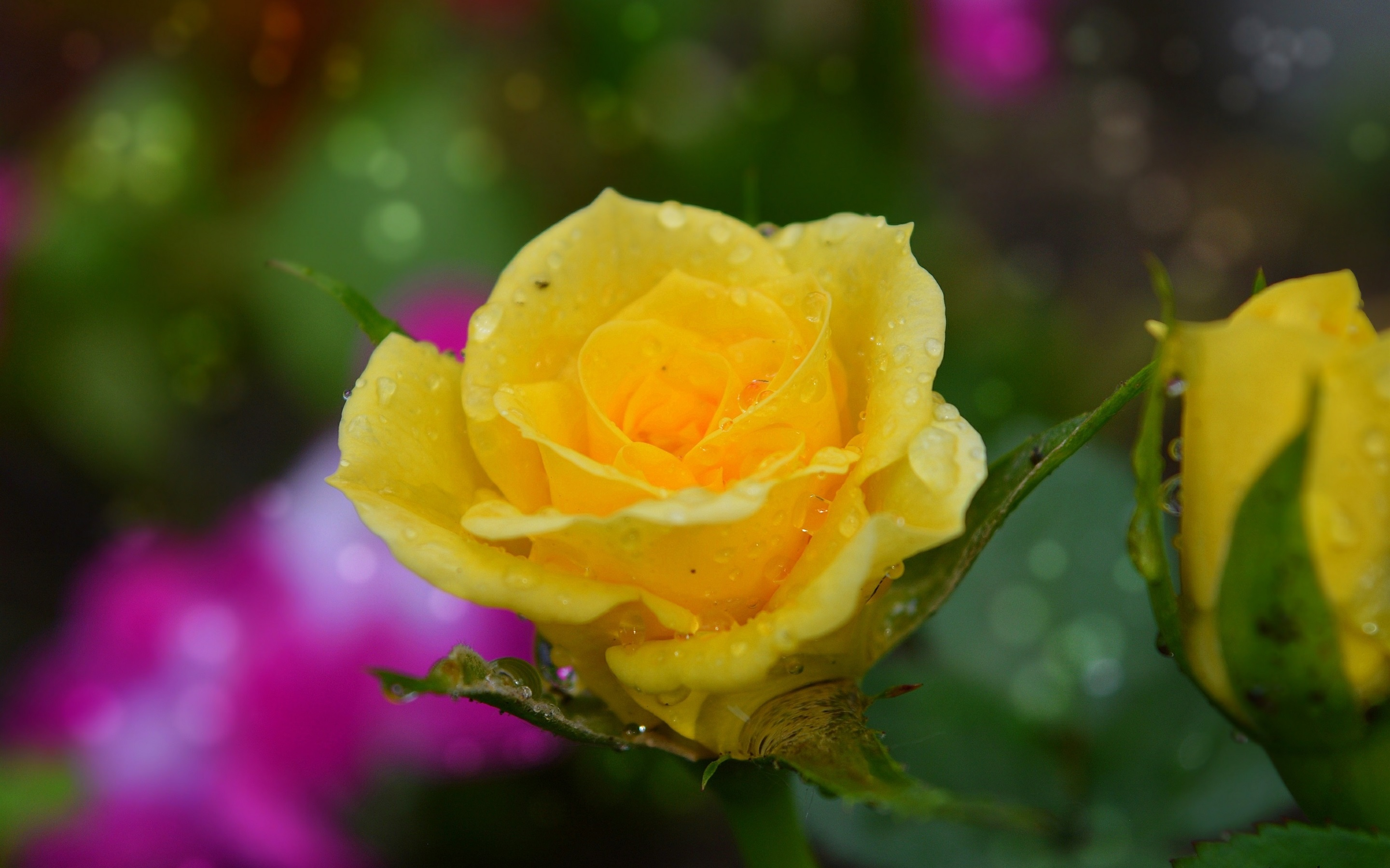 Wallpaper Yellow Rose Water Droplets 2880x1800 Hd Picture