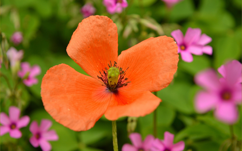 Wallpaper Orange Color Poppy Flower Close Up 2880x1800 Hd Picture Image