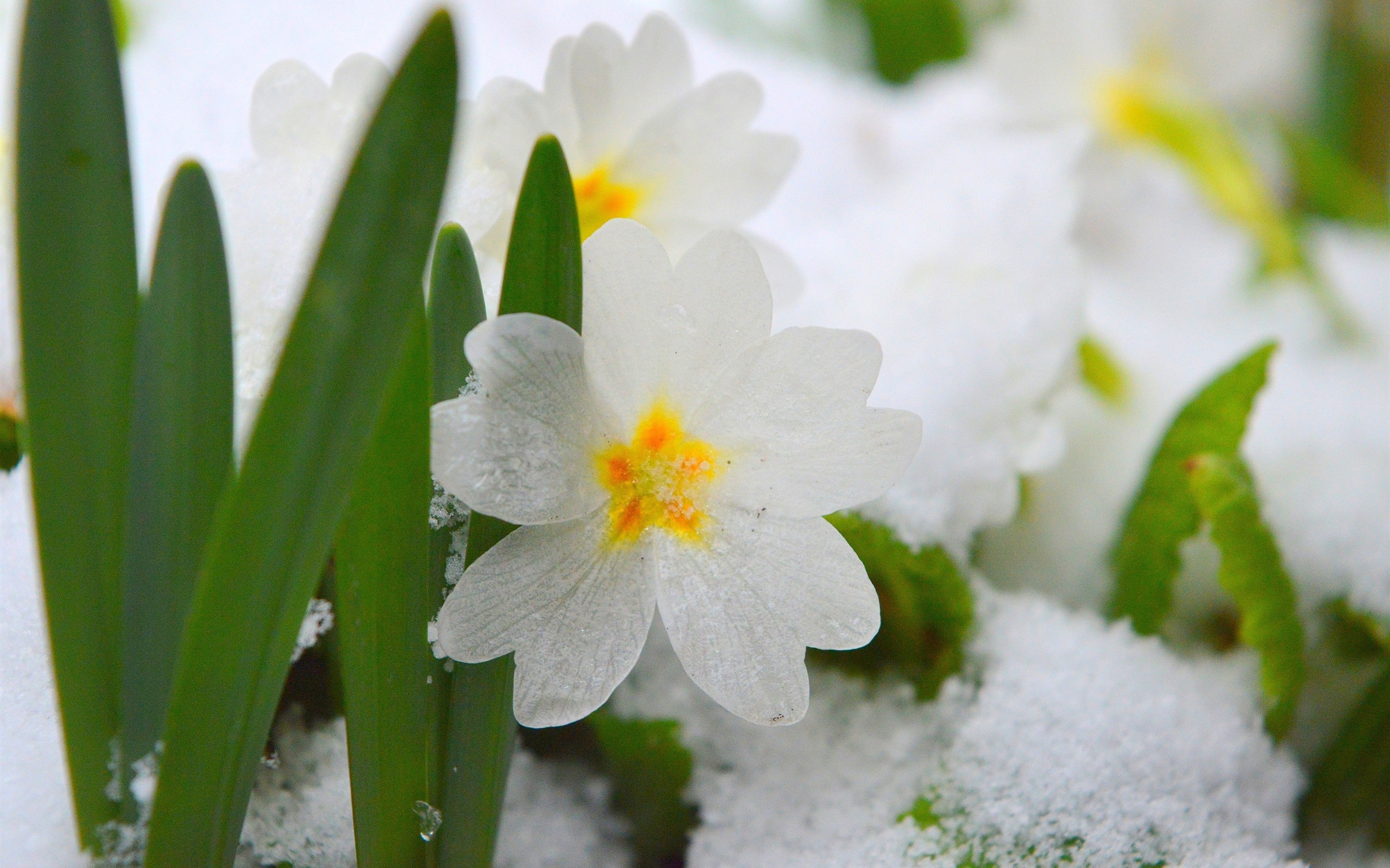 Wallpaper White Flower Snow 2880x1800 Hd Picture Image