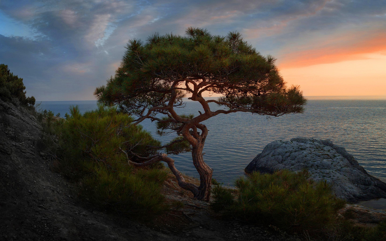 Wallpaper Spruce Lonely Tree Sea Dusk 2880x1800 Hd