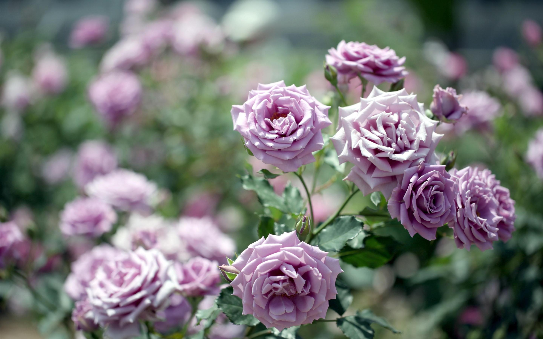 Кустовые розы сорта сиреневого цвета фото
