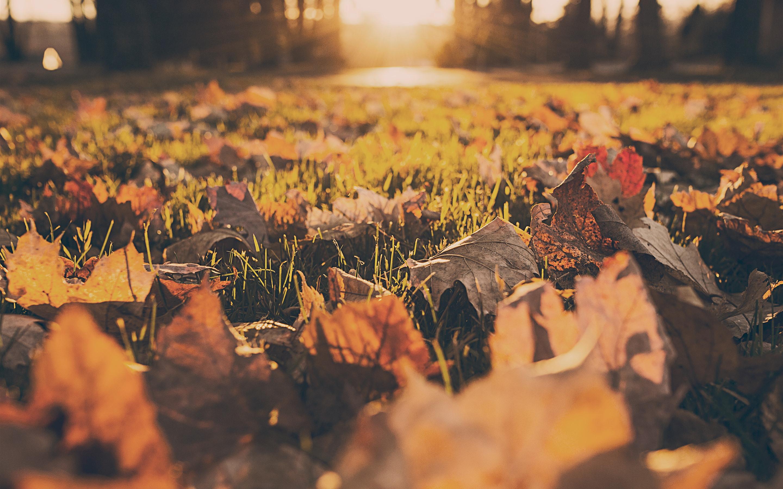 Maple Leaves Ground Grass Sunshine Autumn 1242x2688