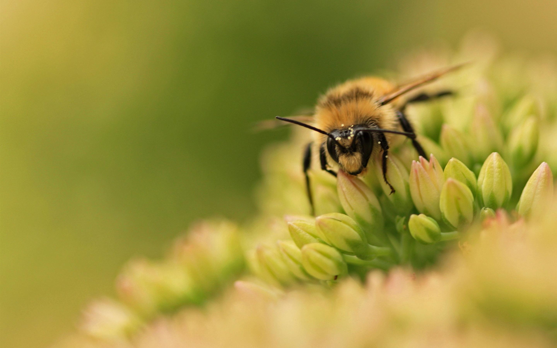 обои и картинки пчелка его был