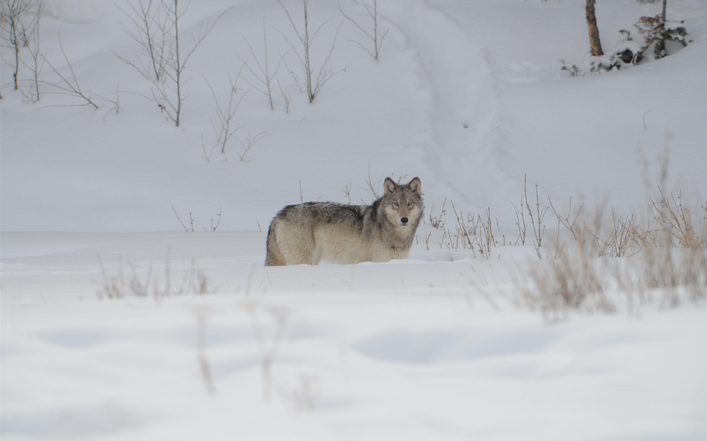 Стая красных волков на снегу фото обои