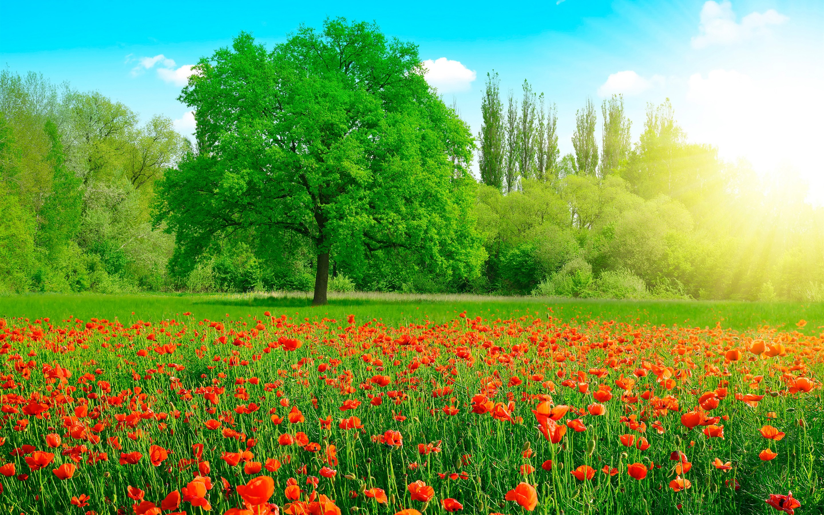 Wallpaper Beautiful summer, red poppy flowers, green grass