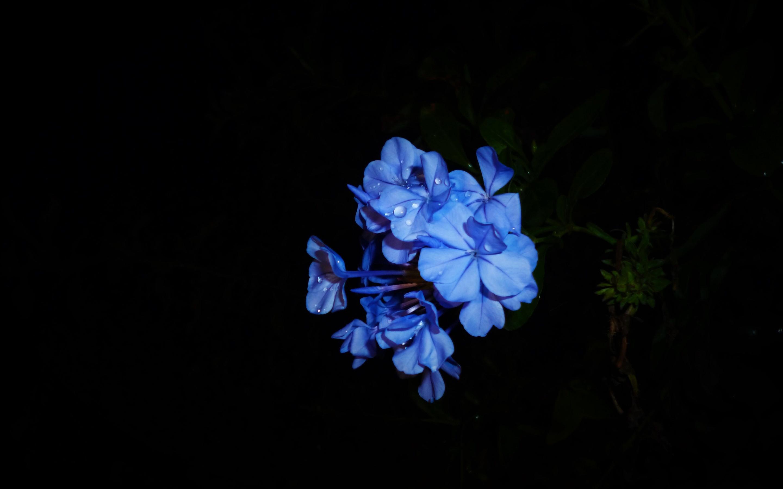 Wallpaper Blue Flowers Petals Black Background 2880x1800 Hd Picture Image