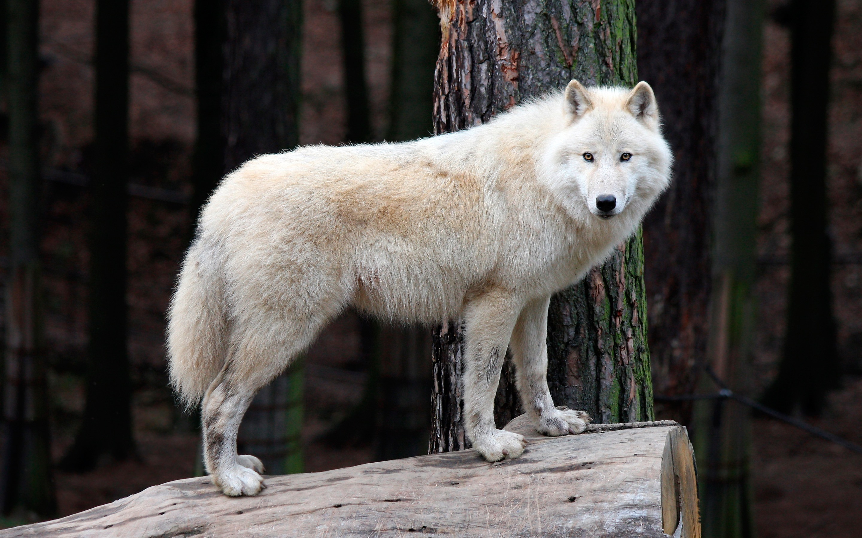 Wallpaper White Wolf Stump Wildlife 2880x1800 Hd Picture Image
