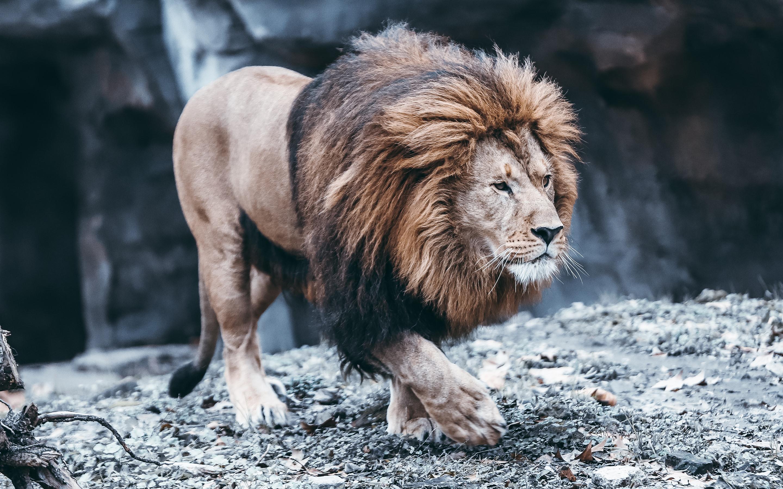 Fonds Décran Lion Marche à Toi Maue 2880x1800 Hd Image