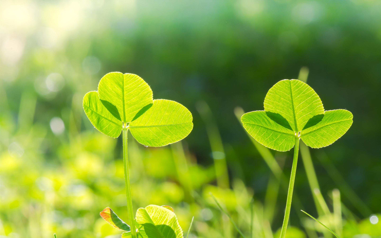 壁紙 クローバー 緑の葉 太陽の光 自然 5120x2880 Uhd 5k 無料の