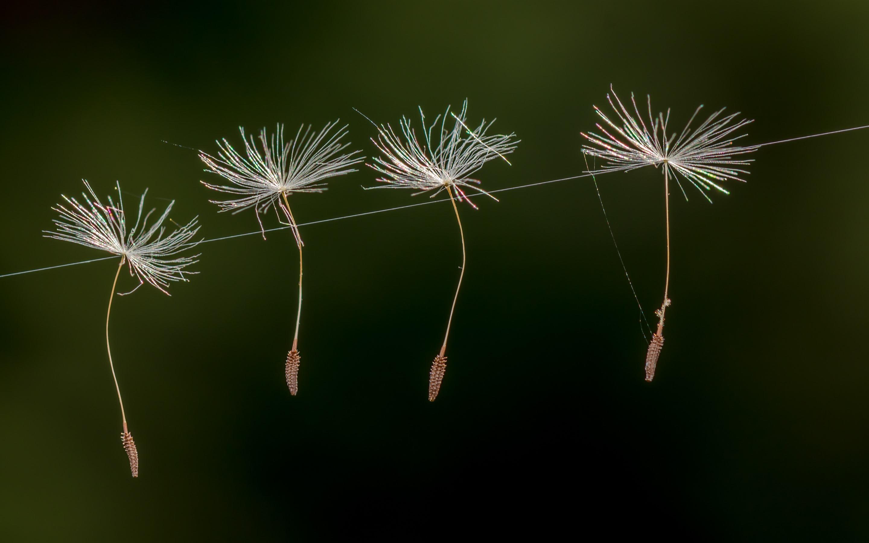 пайетками выбор летят семена одуванчика фото печать