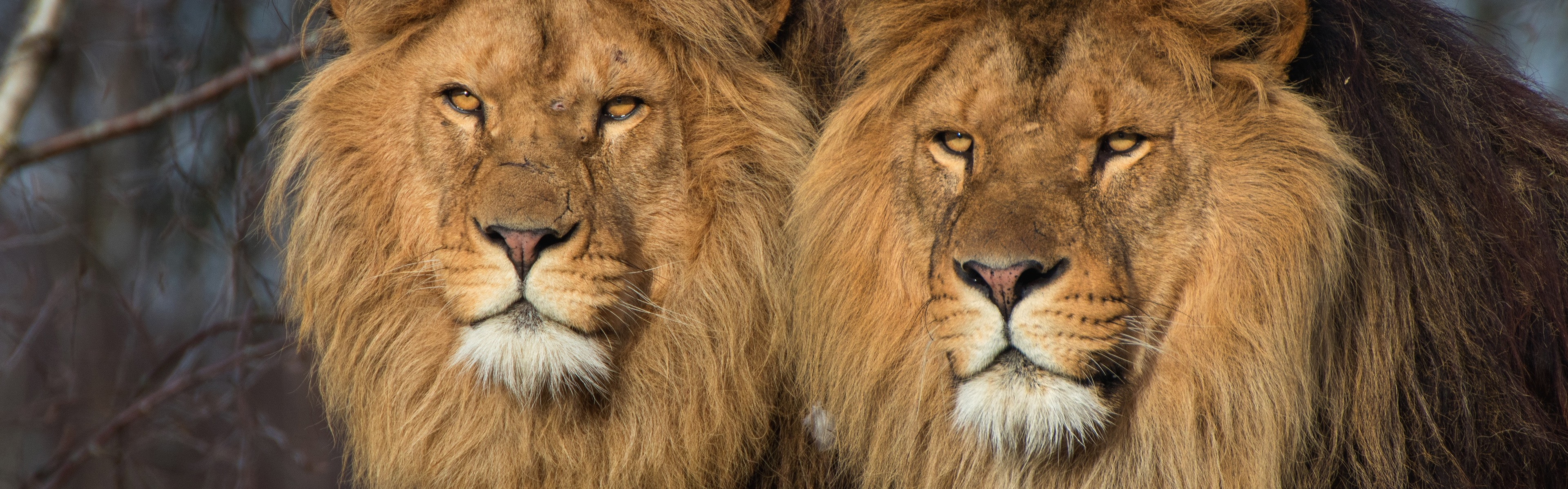8k Animal Wallpaper Download: Wallpaper Two Lions, Wildlife 3840x2160 UHD 4K Picture, Image