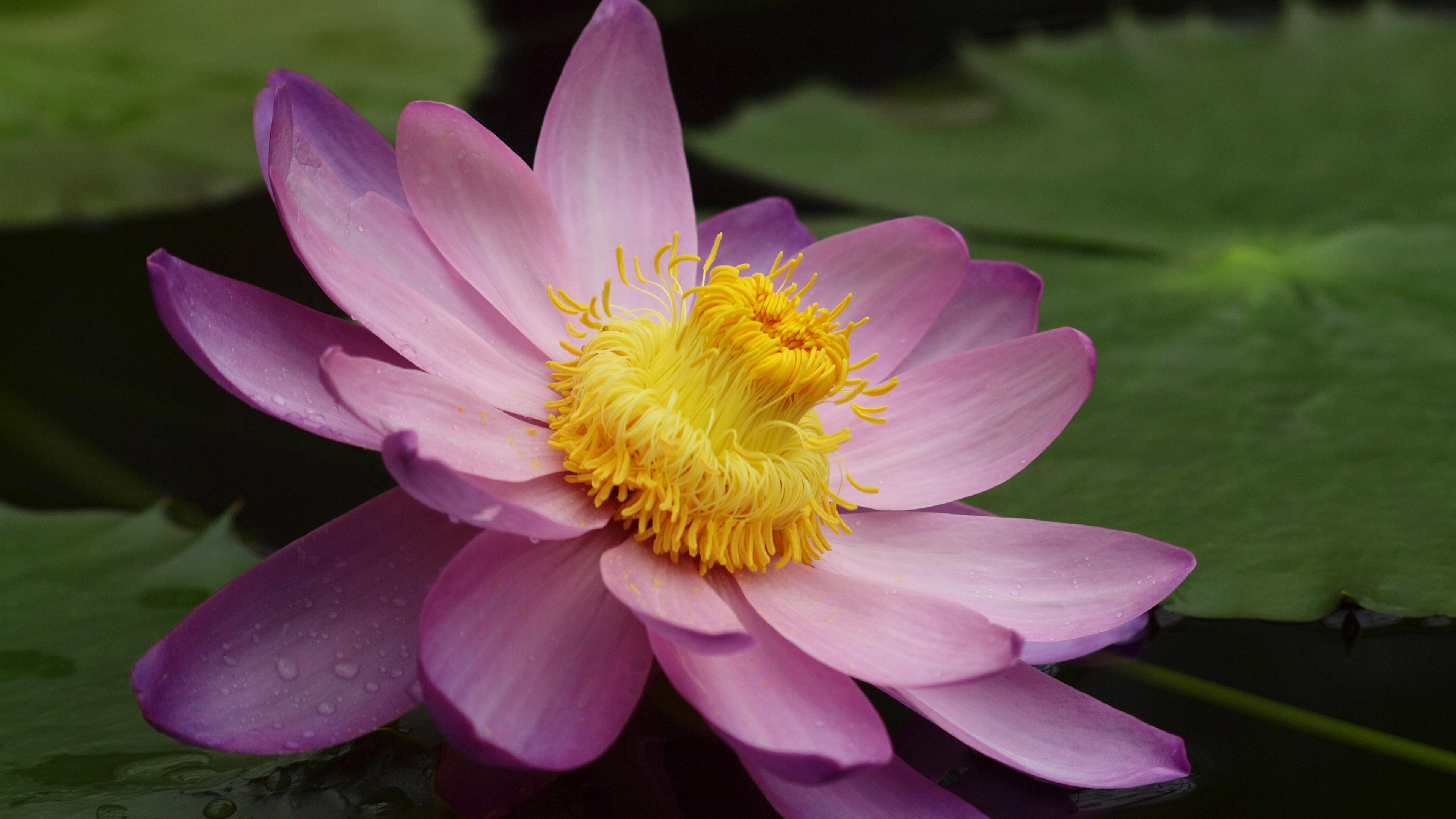 лилия, озеро, листья без регистрации