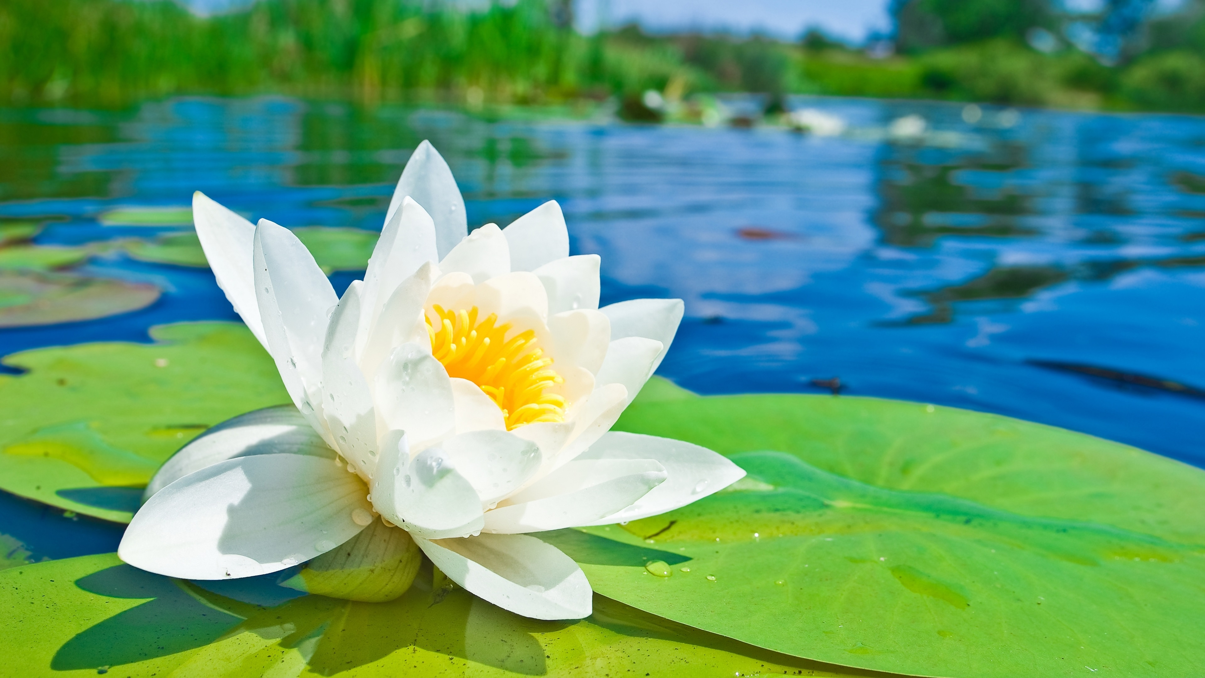 Wallpaper White Lotus Flower Macro Photography Green Leaves Pond