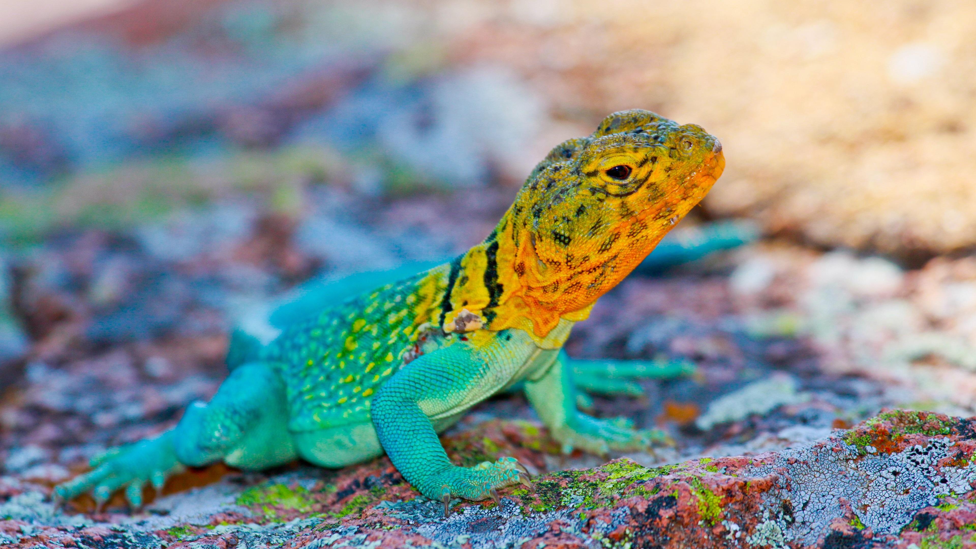 3840x2160 wallpaper lizard gecko - photo #5