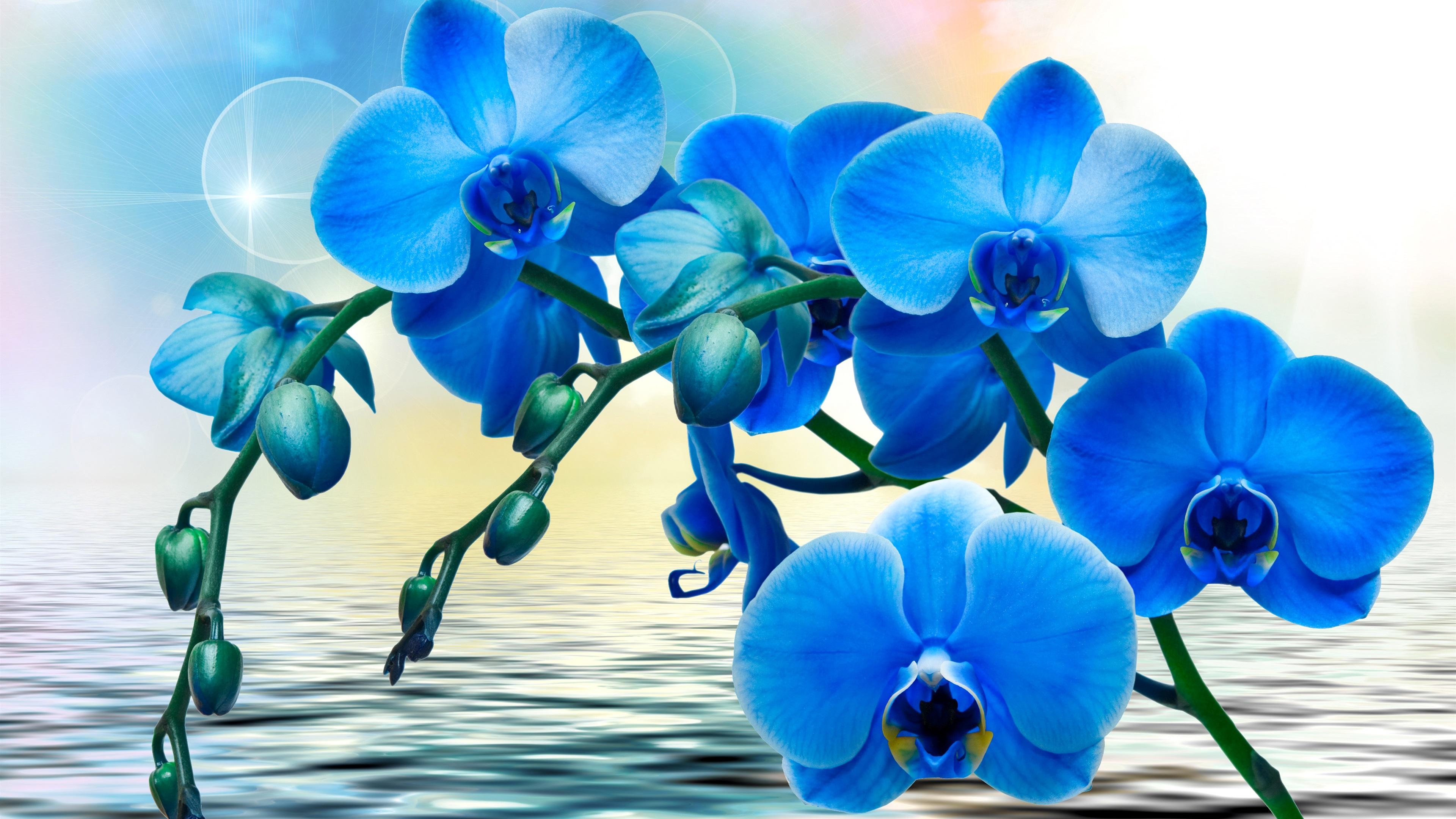 Wallpaper orchids blue flowers phalaenopsis water 3840x2160 uhd orchidsblueflowersphalaenopsiswater original resolution 3840x2160 download this wallpaper izmirmasajfo