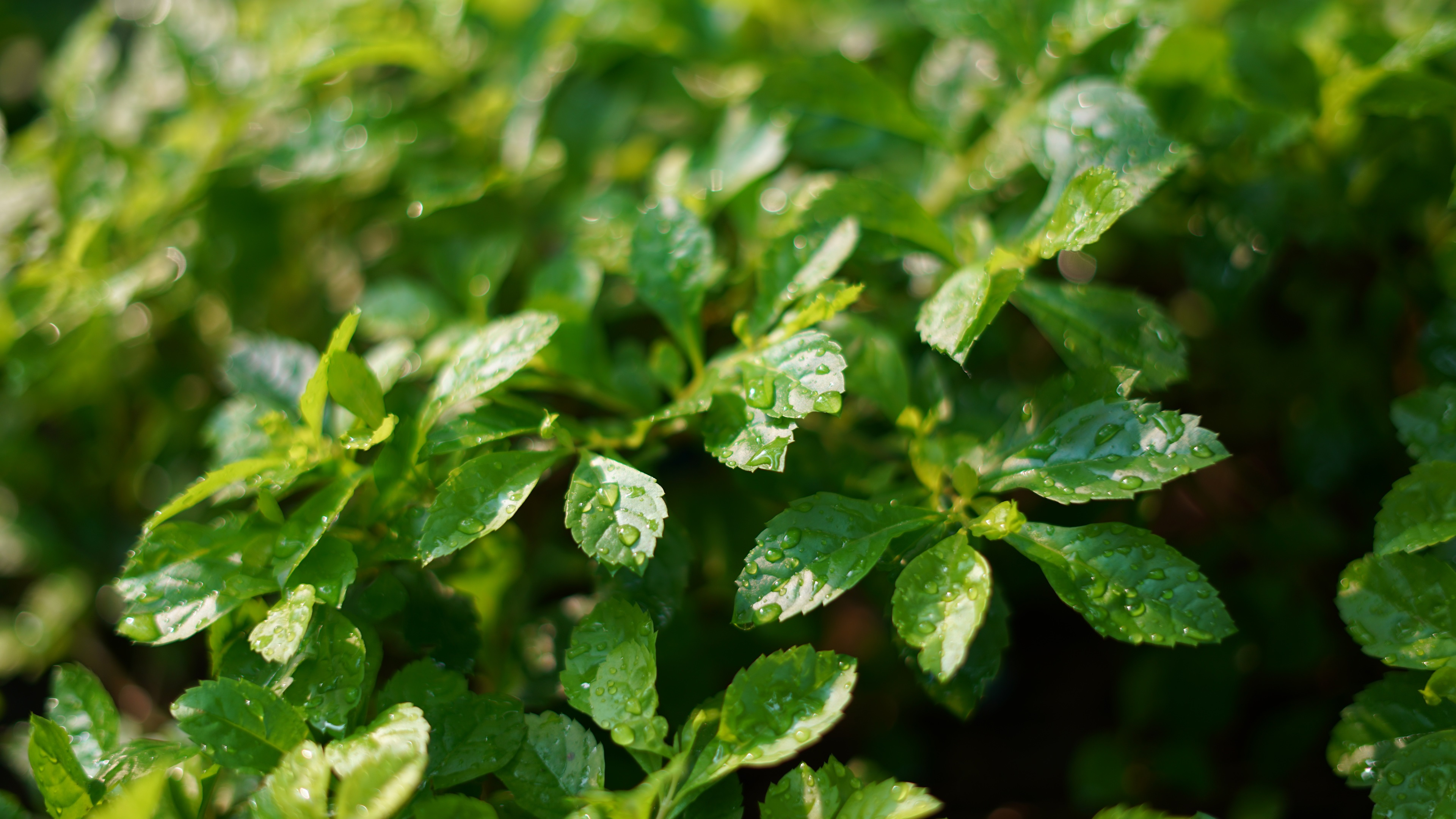 Wallpaper Plants Green Leaves After Rain Water Drops 3840x2160 UHD