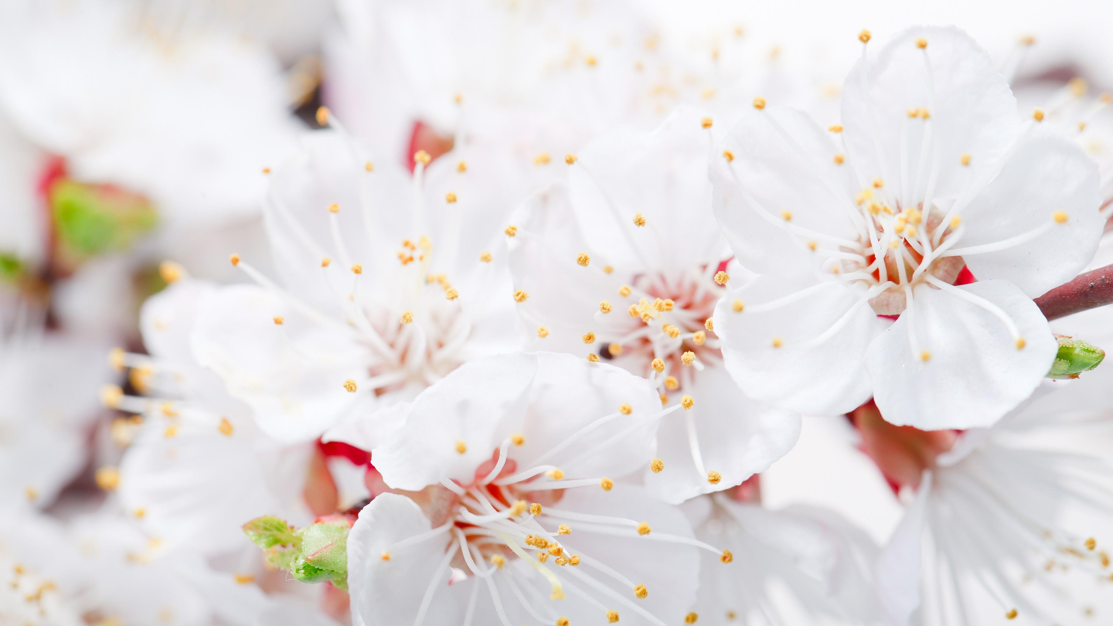 Fonds D'écran Pétales Fleurs Blanches Close-up, Le