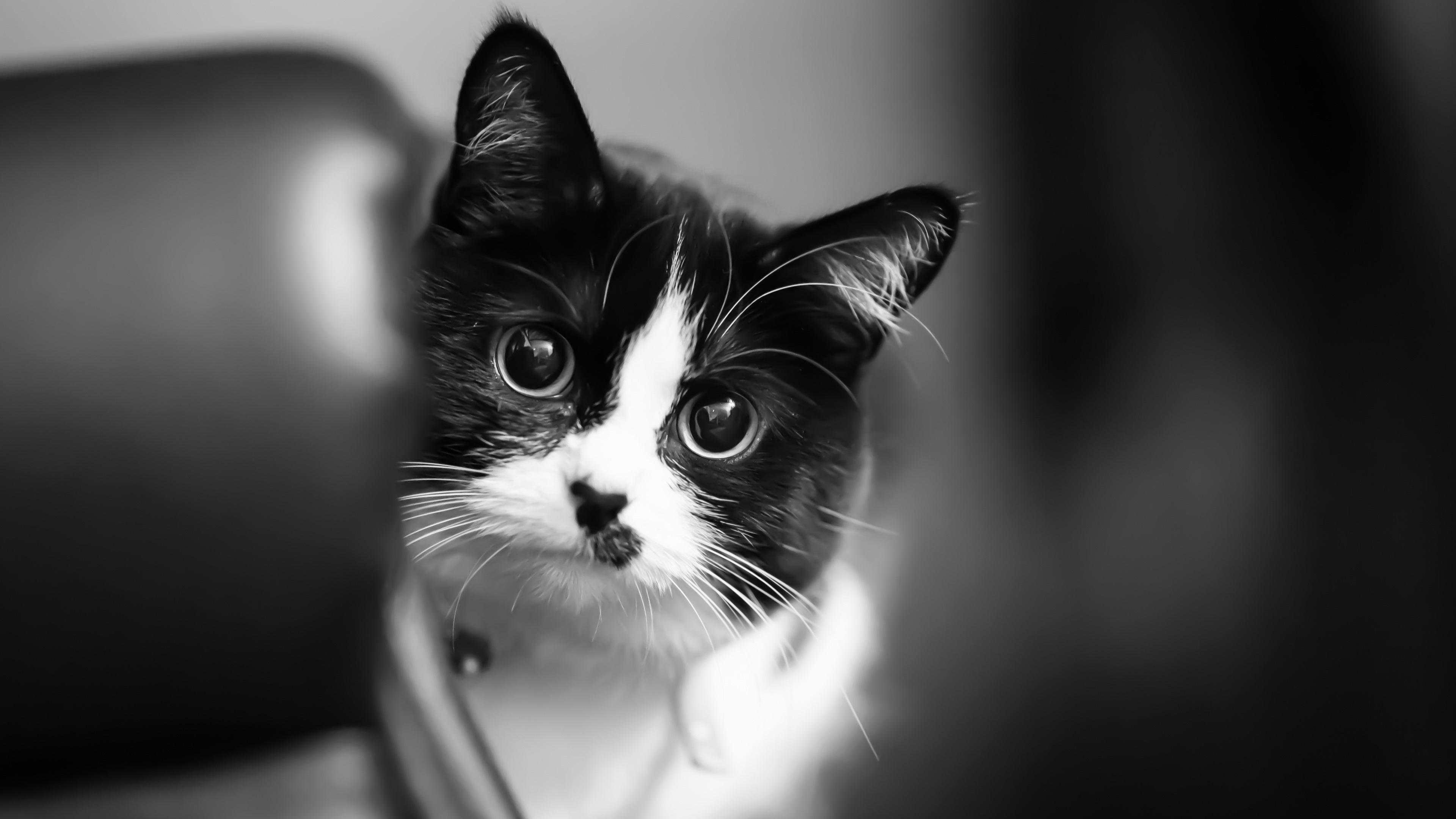 壁紙 かわいい子猫 白 黒 3840x2160 Uhd 4k 無料のデスクトップの
