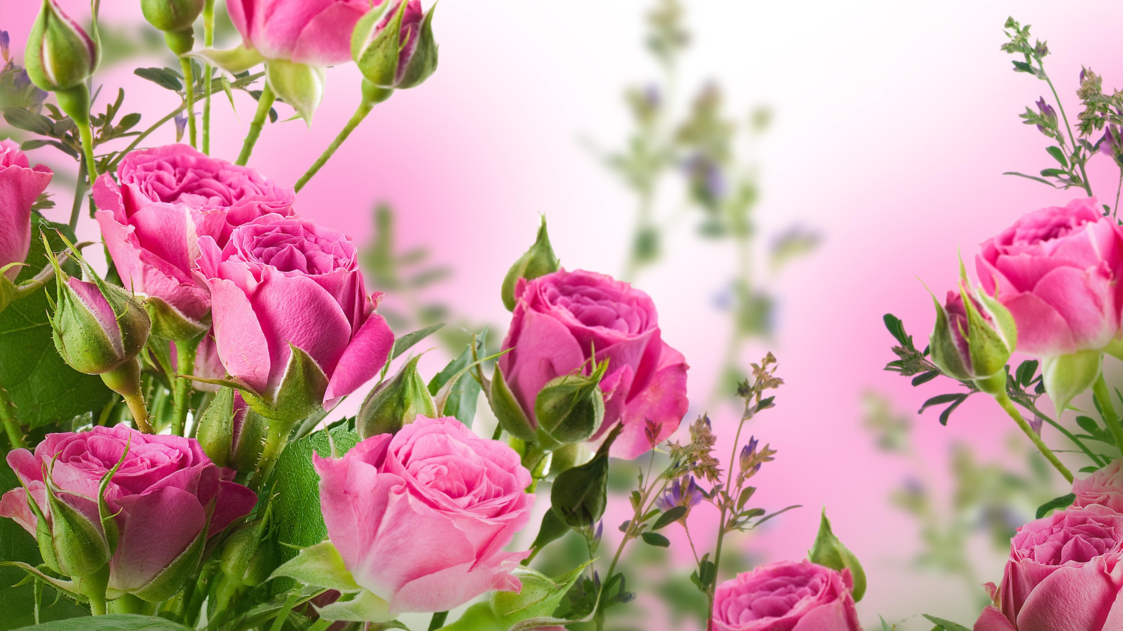 Wallpaper Pink Rose Flowers Garden 3840x2160 Uhd 4k Picture Image
