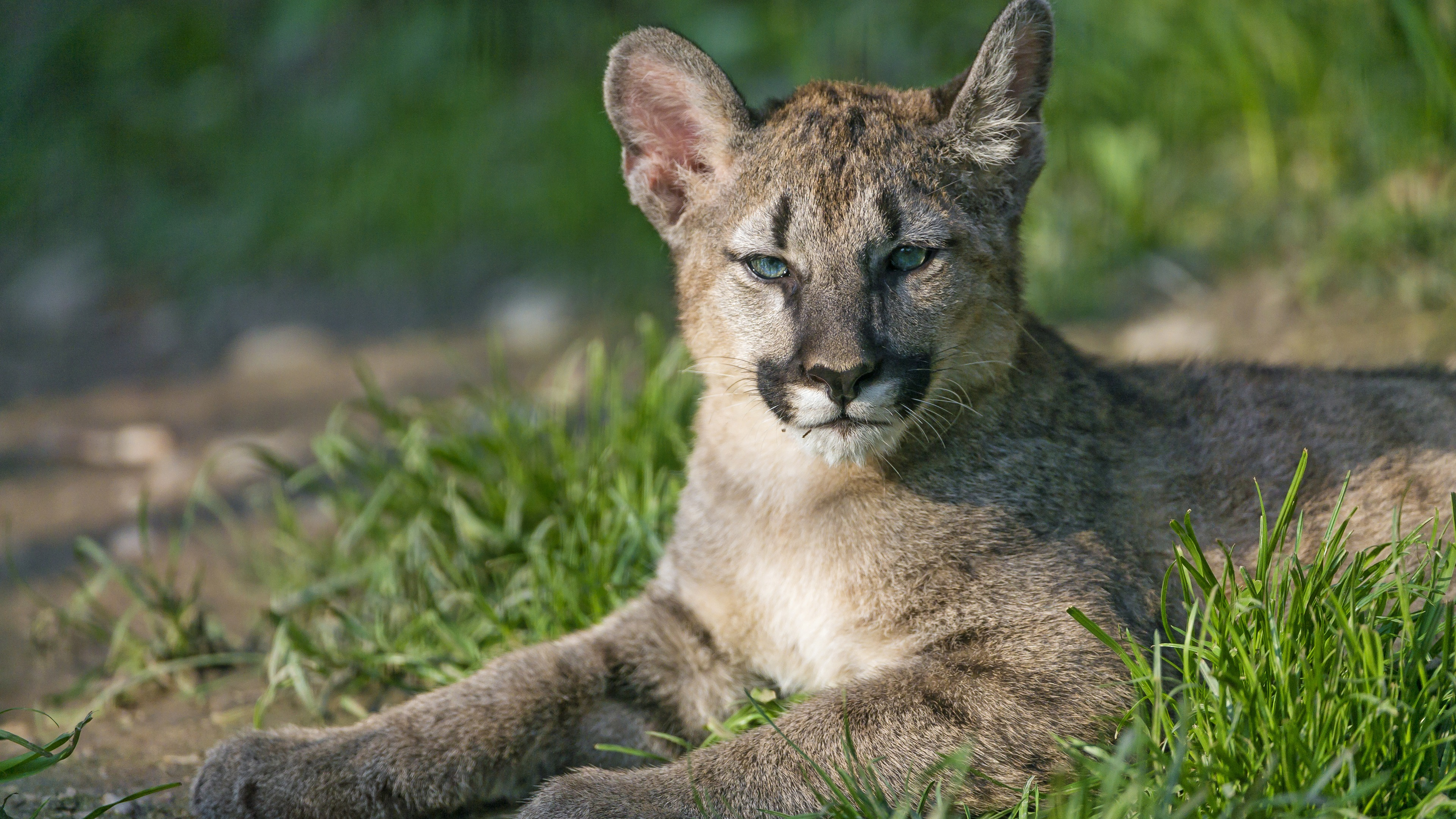 Wallpaper Puma Cubs Mountain Lion Grass 3840x2160 Uhd 4k Picture