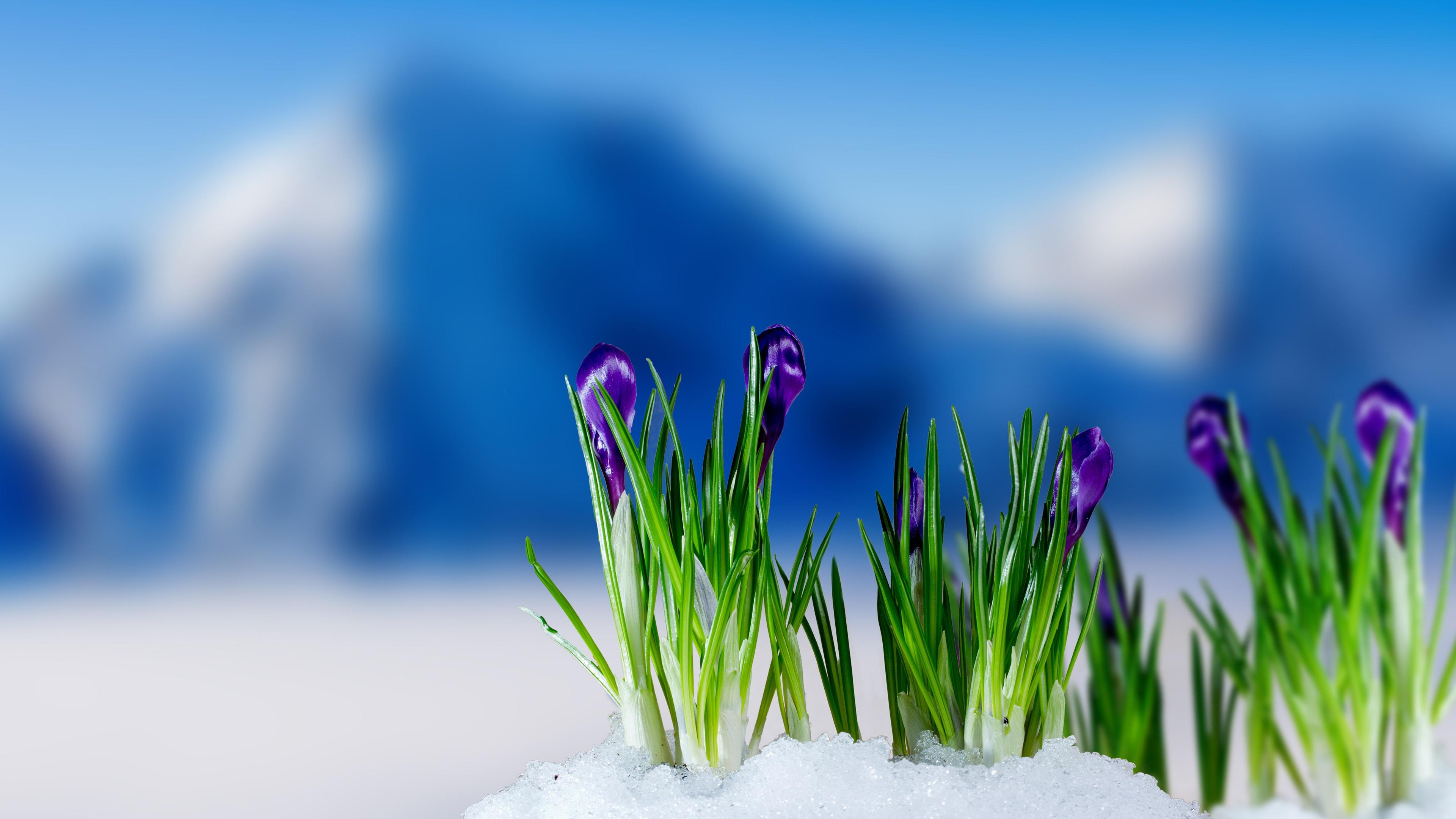 подснежники снег цветы без смс