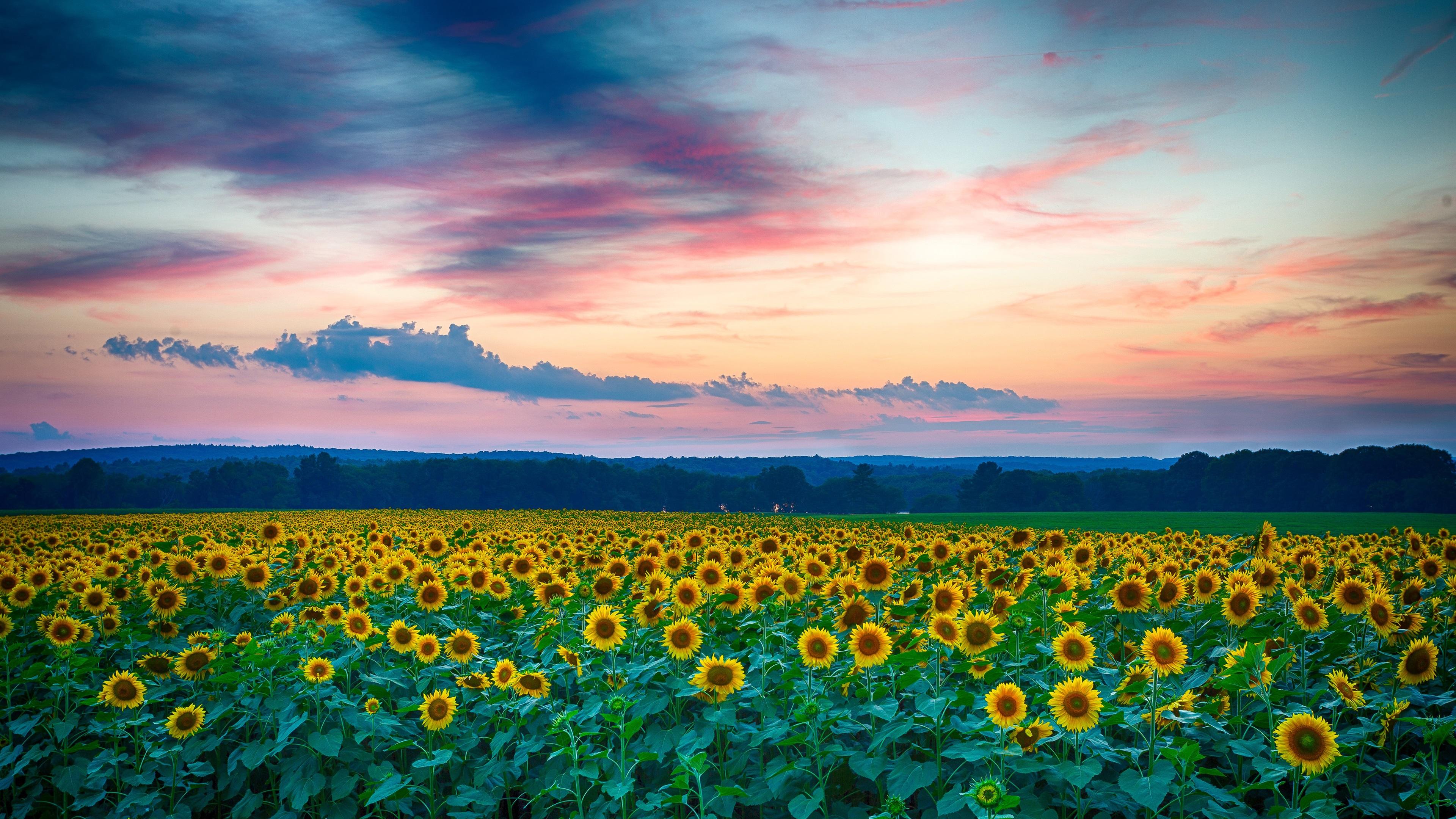 Fondos de pantalla hermoso campo de girasoles por la noche puesta de sol verano 3840x2160 uhd - Fondos de escritorio verano ...
