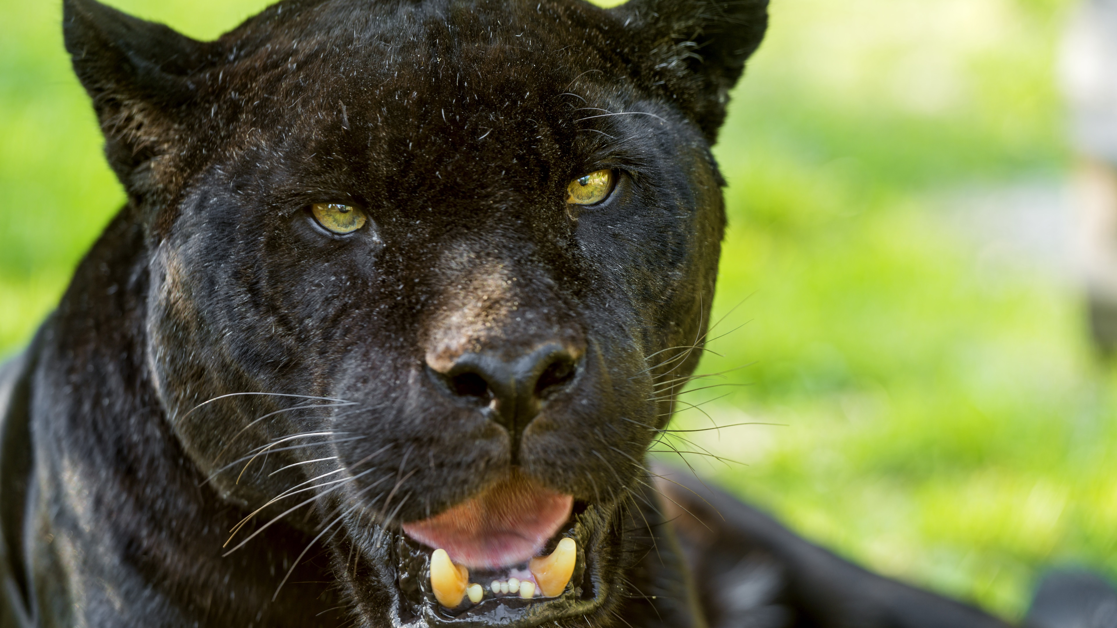 Wallpaper Black Jaguar Face Yellow Eyes 3840x2160 Uhd 4k Picture Image