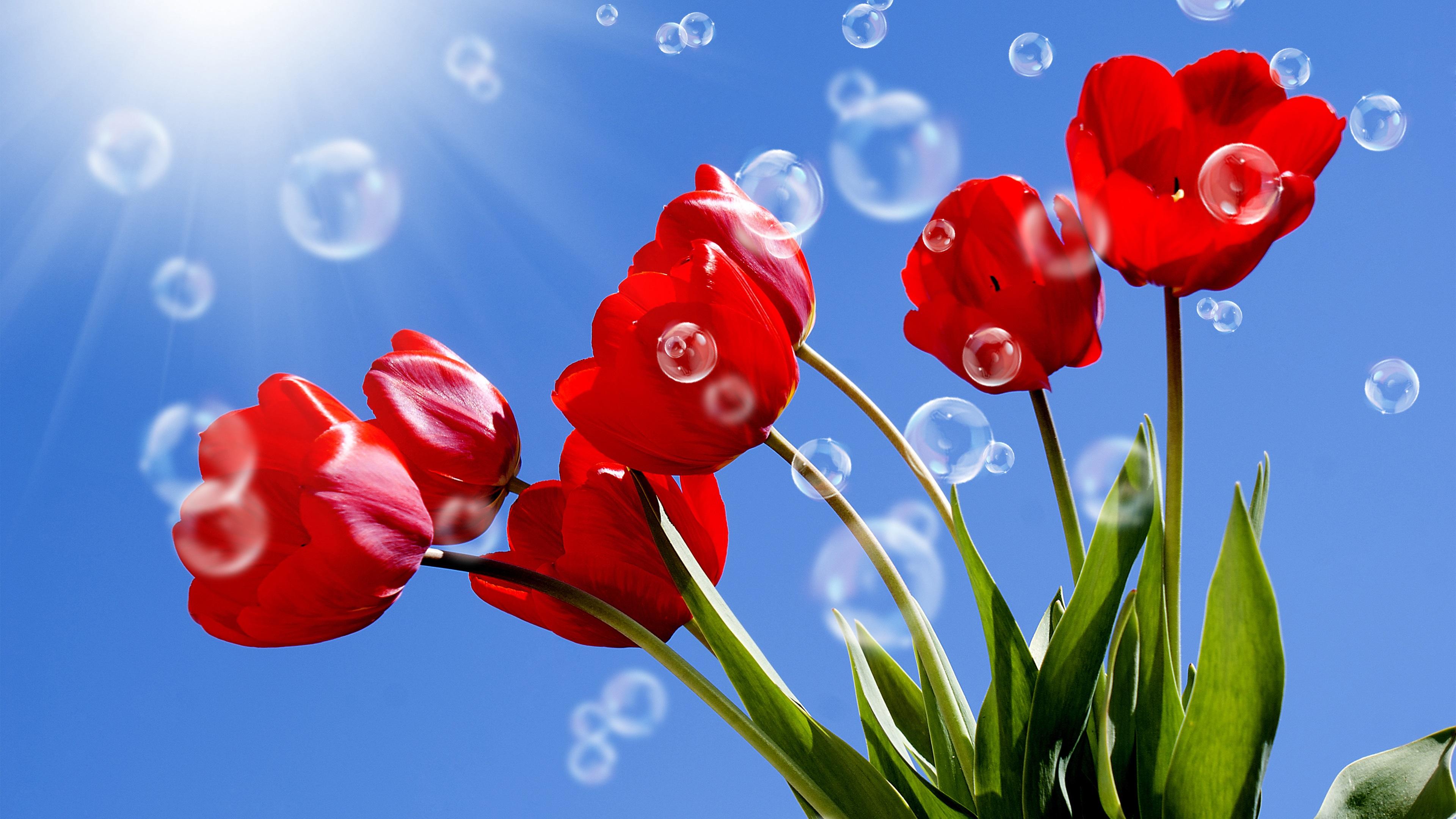 Fondos De Pantalla Tulipanes Rojos, Tallos, Burbujas