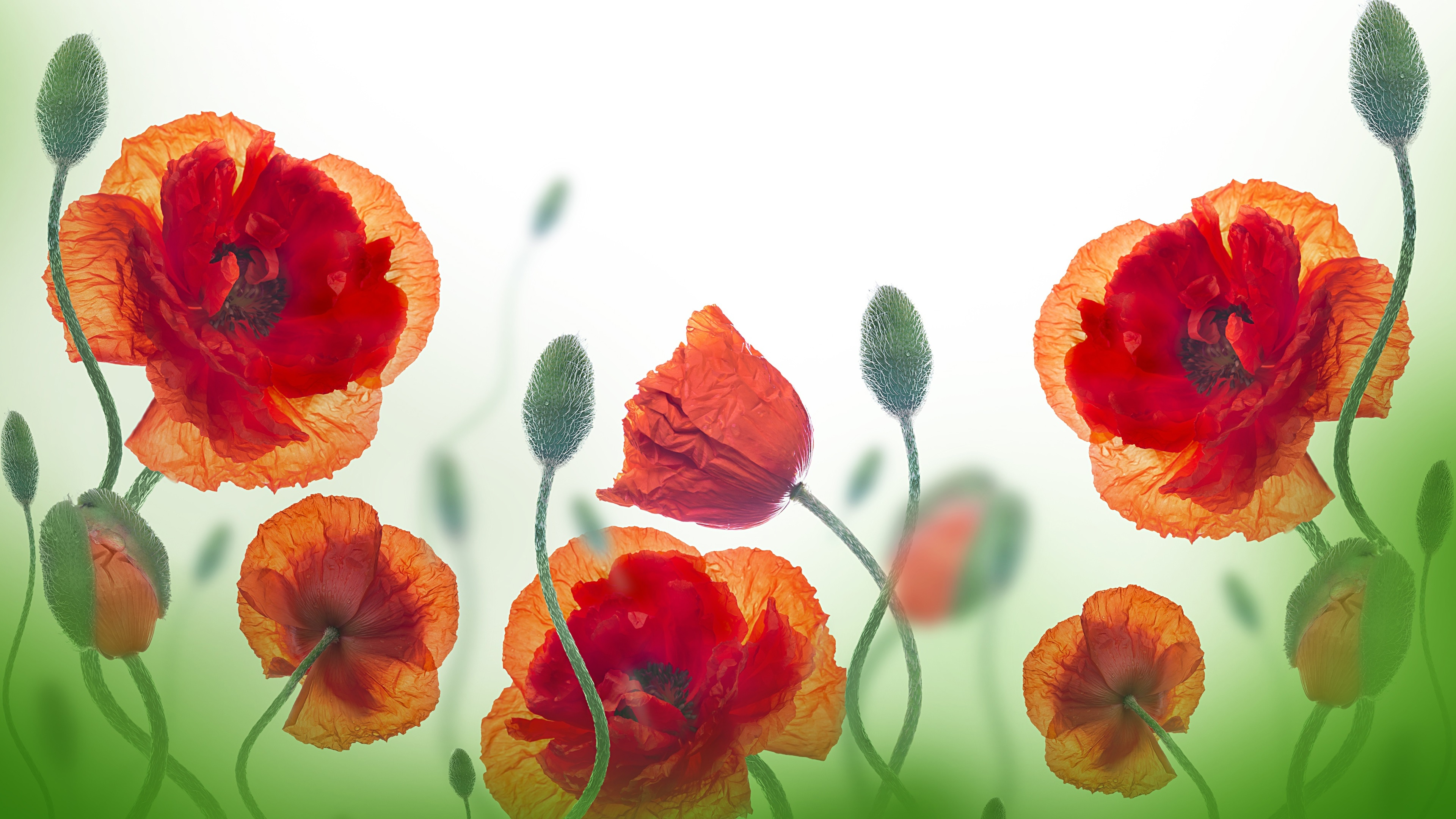 Wallpaper Wildflowers Poppy Red Flowers 3840x2160 Uhd 4k Picture