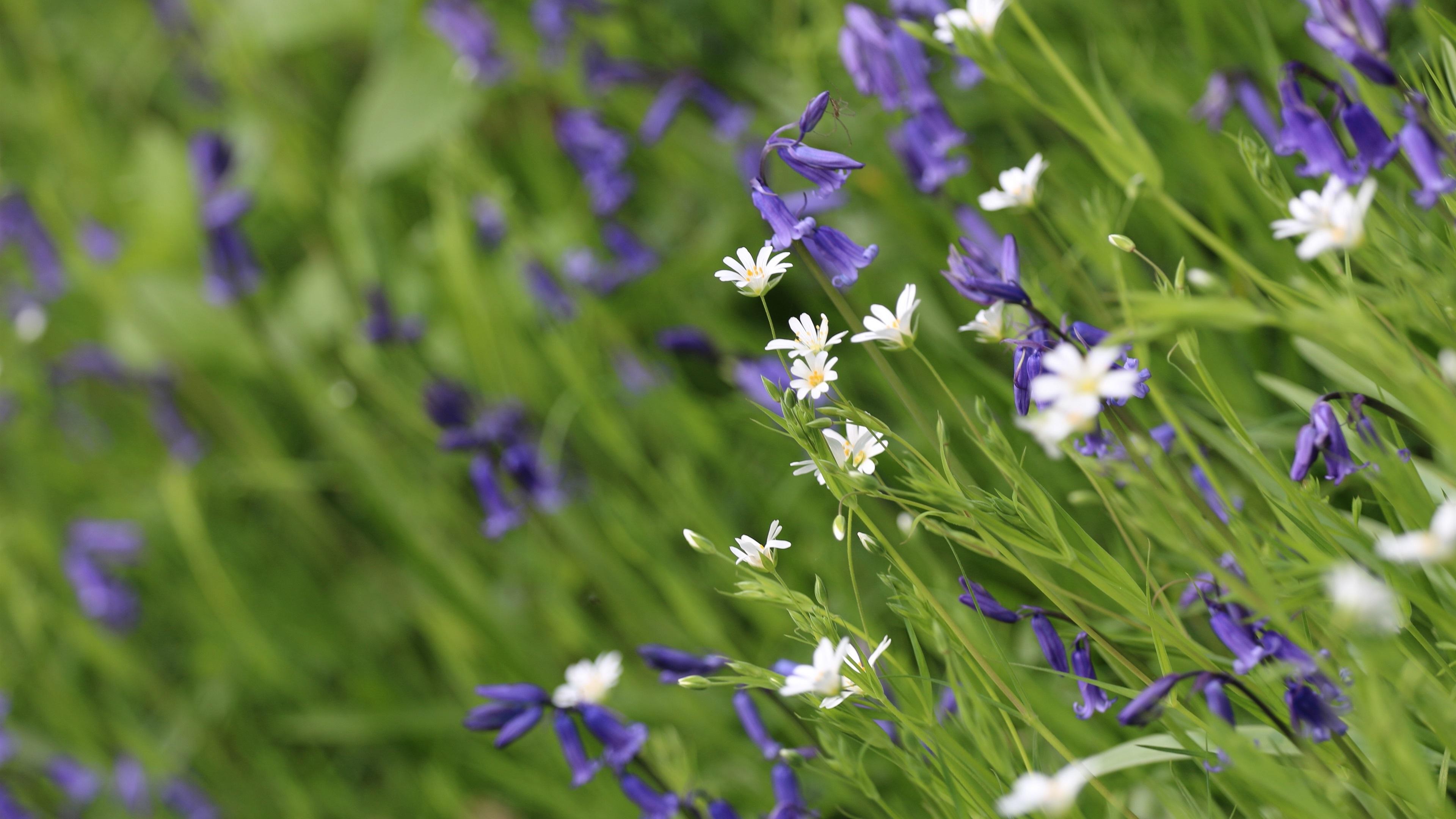 Fondos De Pantalla Flores Silvestres Blancas Y Azules 3840x2160 Uhd