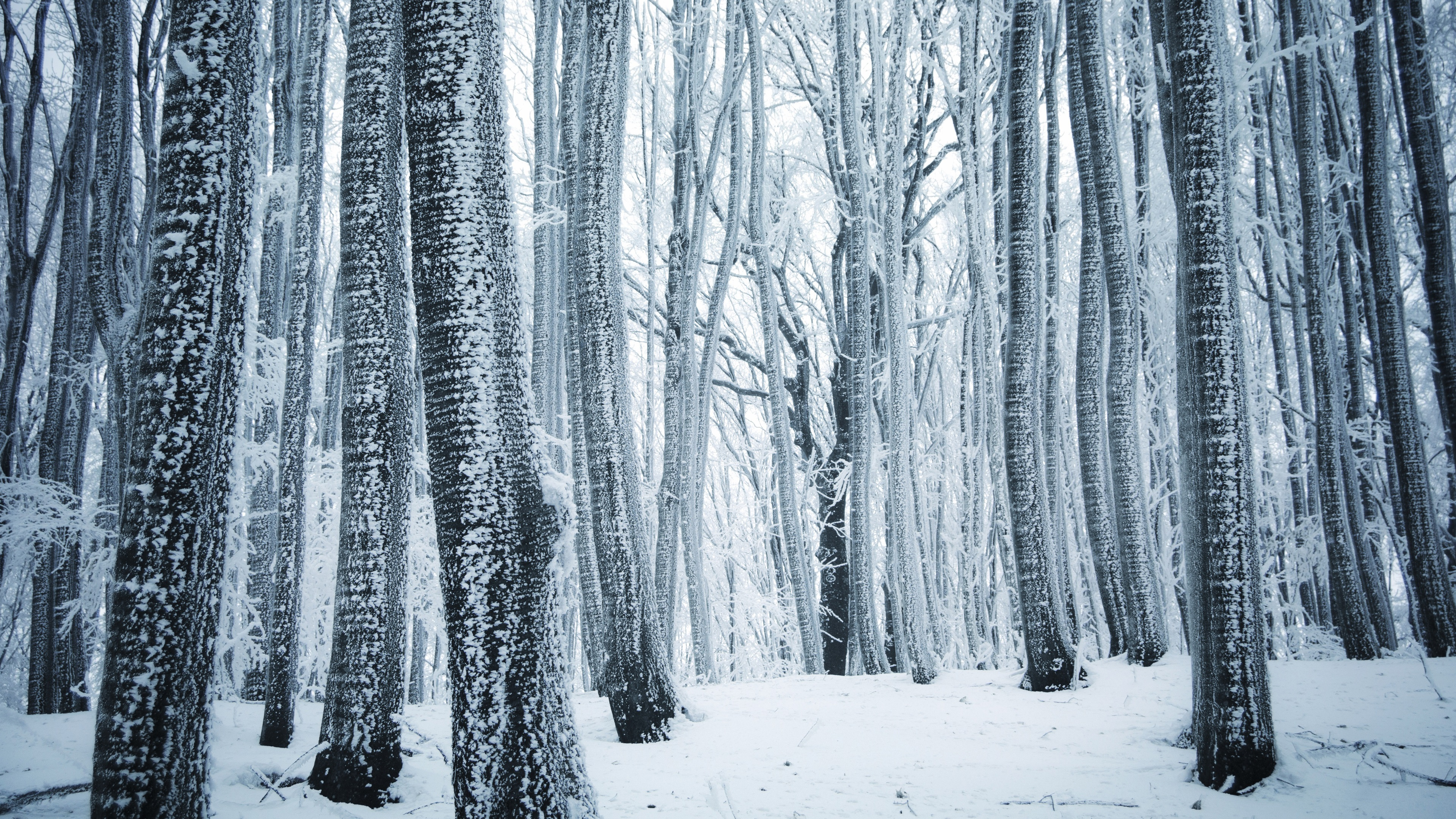 Wallpaper Winter Forest Trees White Snow 3840x2160 Uhd