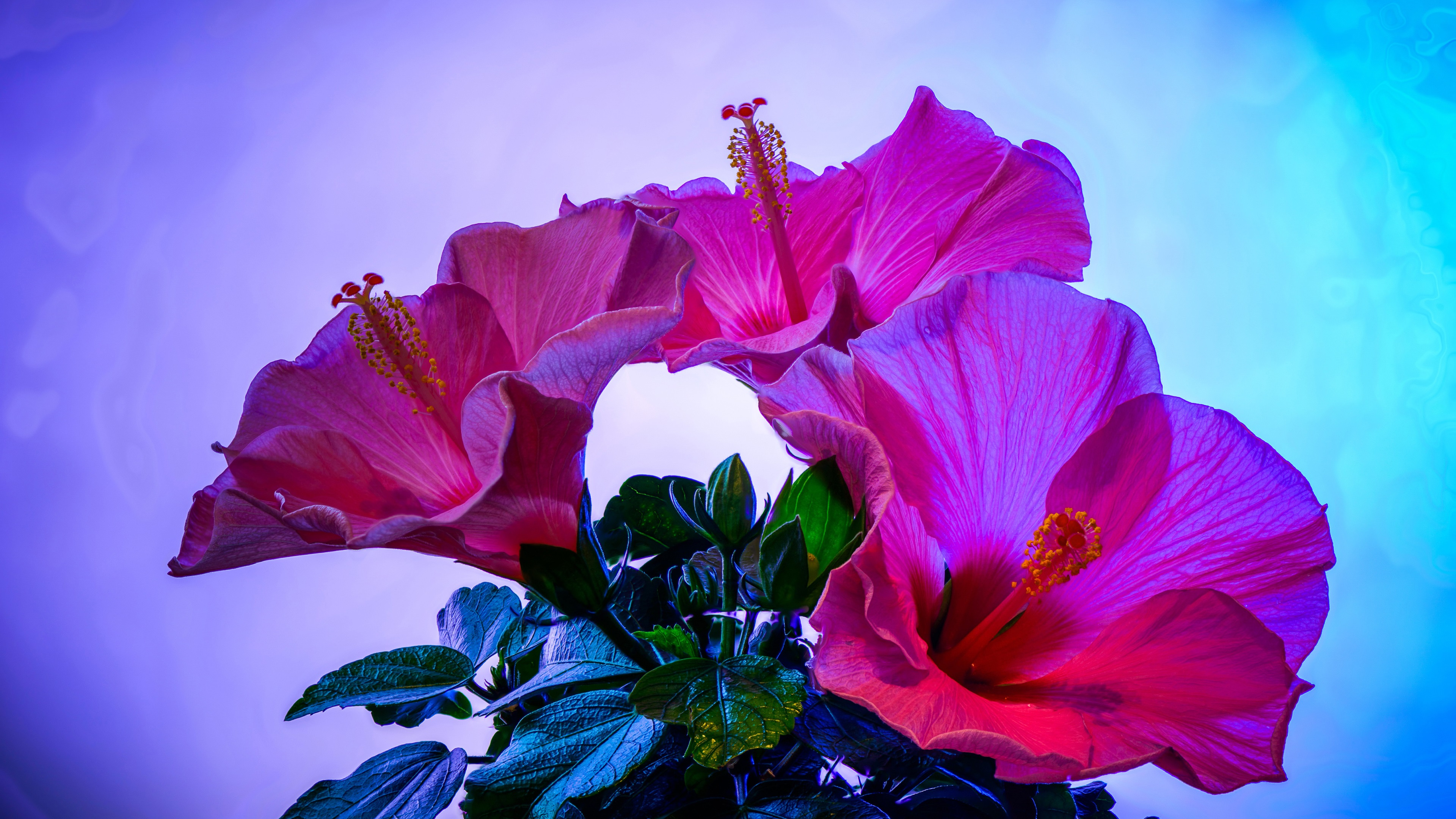 Wallpaper Pink Hibiscus Flowers Close Up Blue Background 3840x2160
