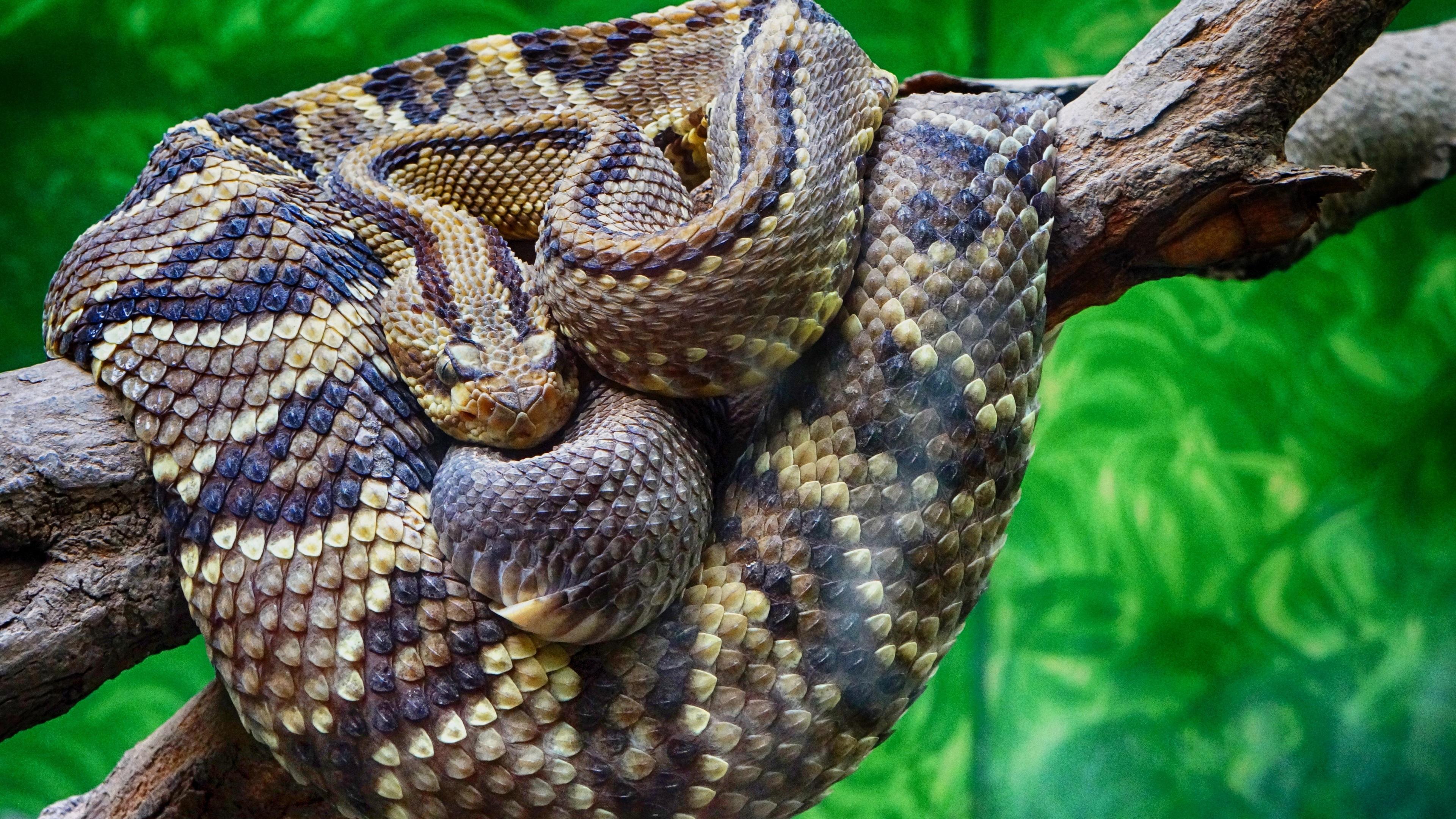 响尾蛇特写镜头,蛇,鳞,树 壁纸
