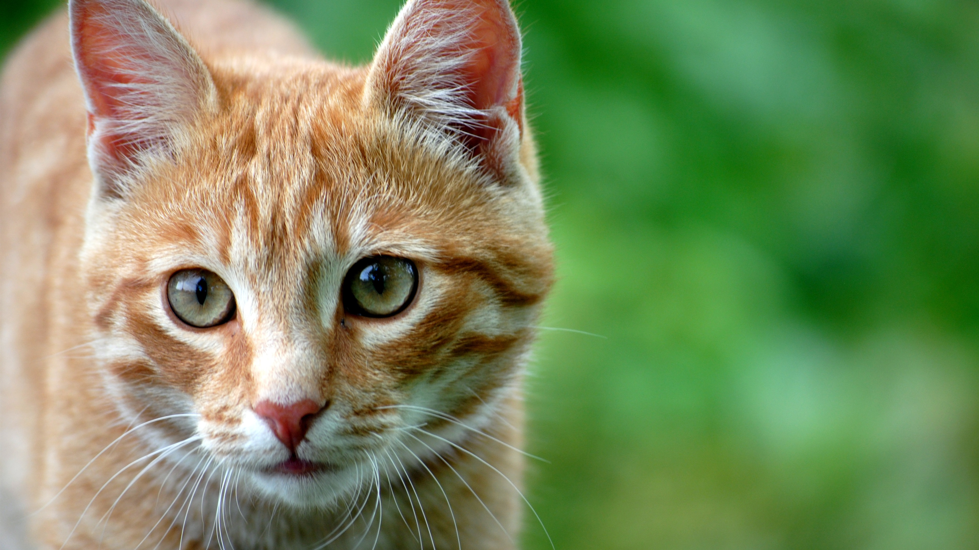 Fondos de pantalla Gato naranja vista frontal, fondo verde 3840x2160 UHD 4K Imagen