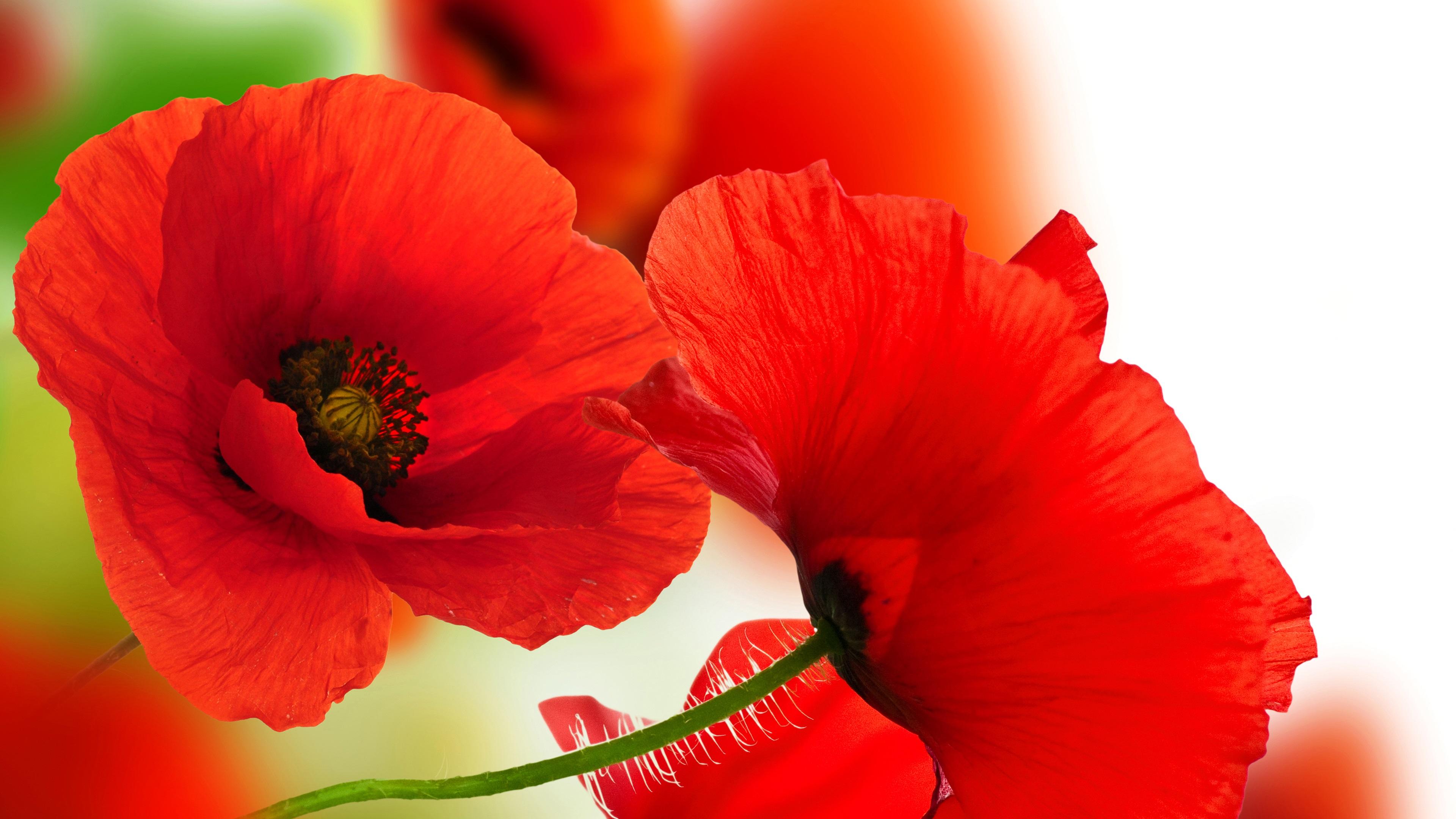 Для, картинки цветы красные маки