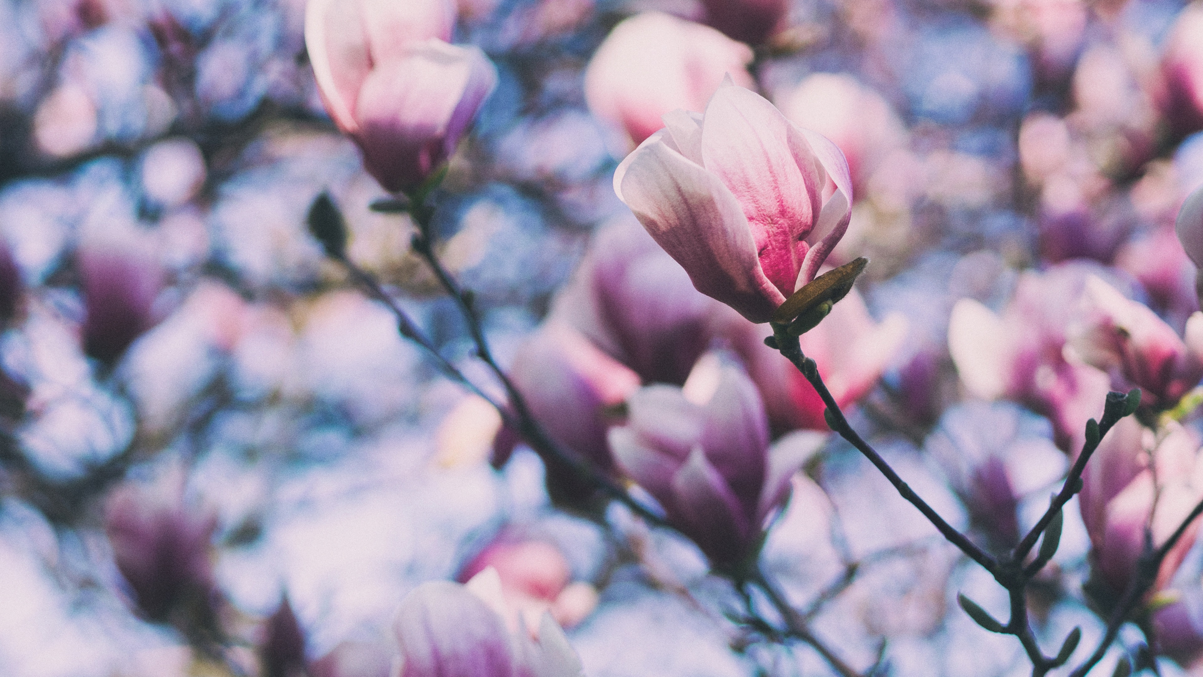 Фото цветов магнолии высокого разрешения