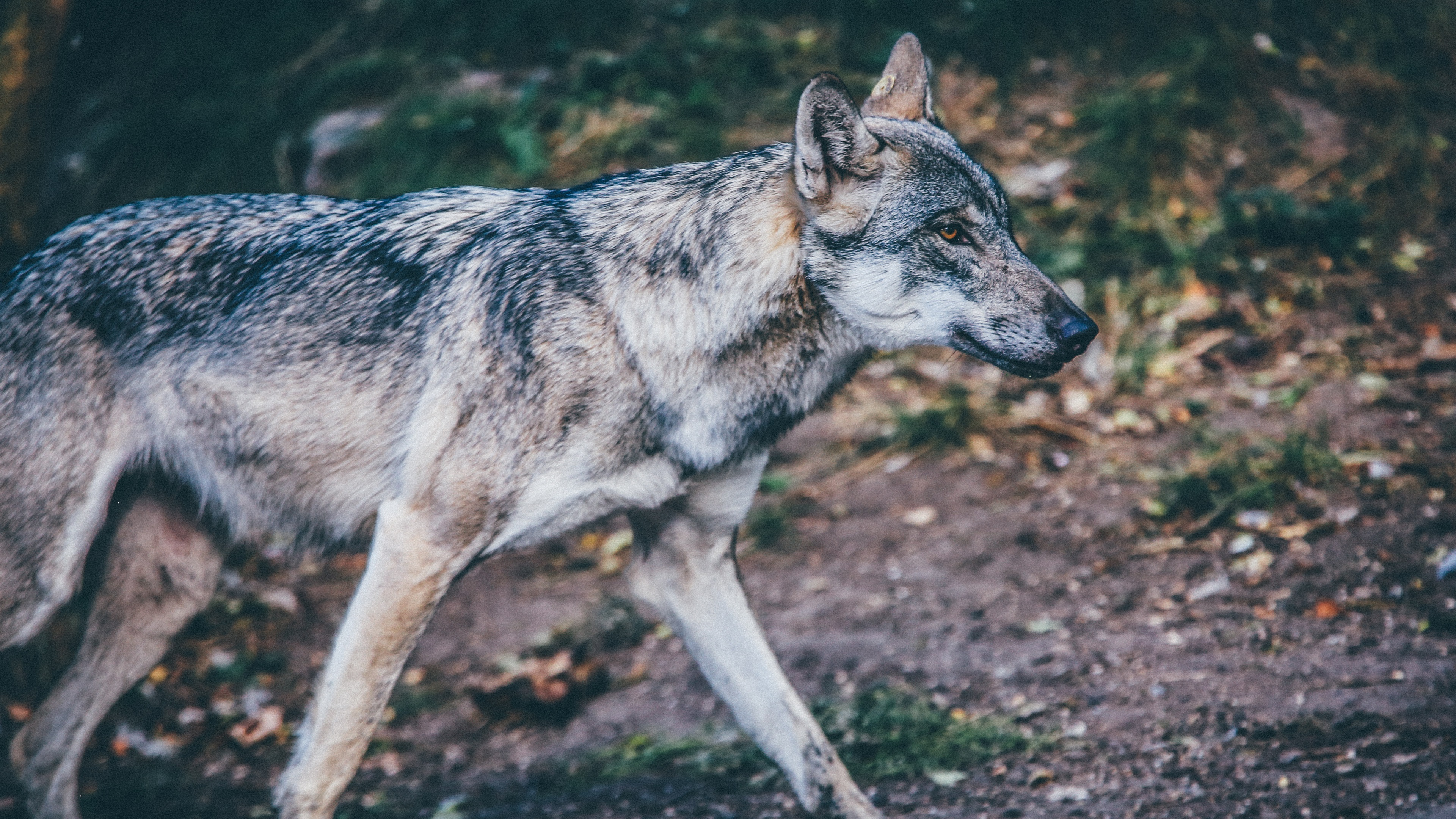 Image Result For Wolf Wallpaper