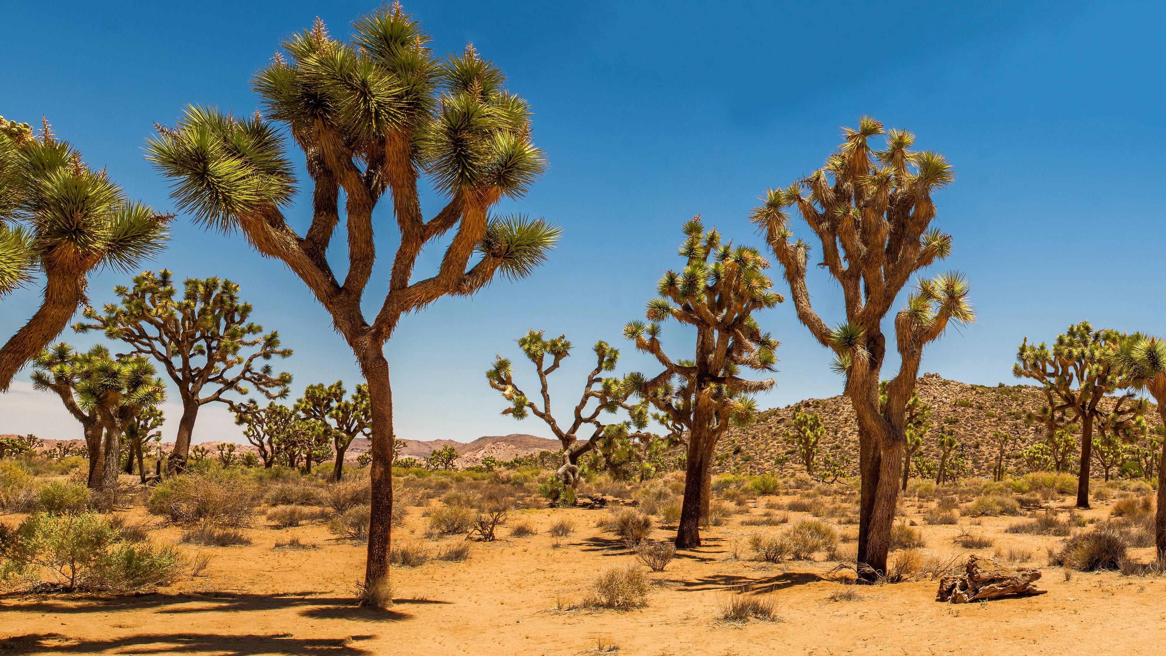 Wallpaper Joshua Tree National Park Usa Desert Shrub Trees Grass 3840x2160 Uhd 4k Picture Image