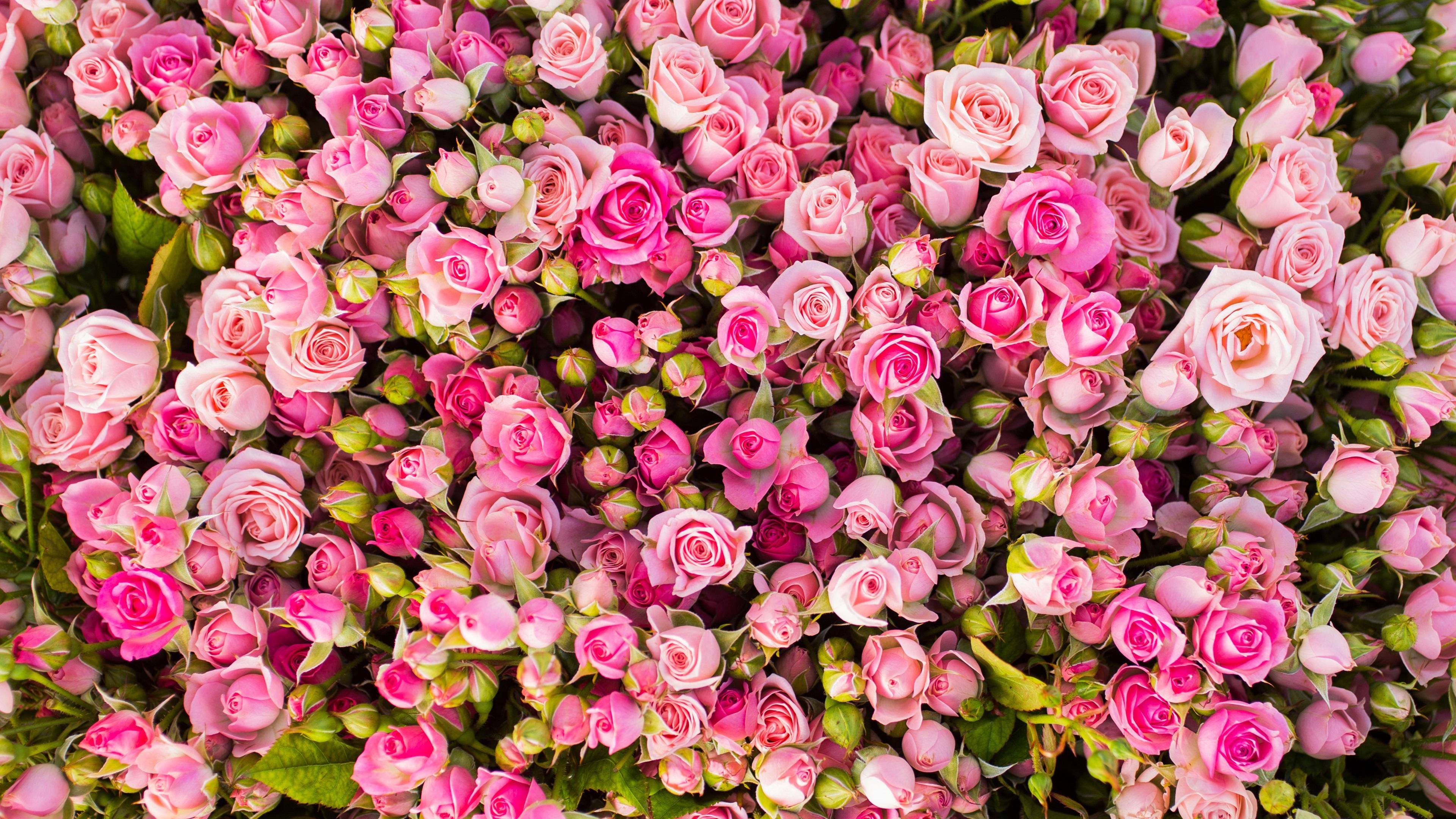 Papéis de Parede Muitas flores de rosa rosa 3840x2160 UHD ...