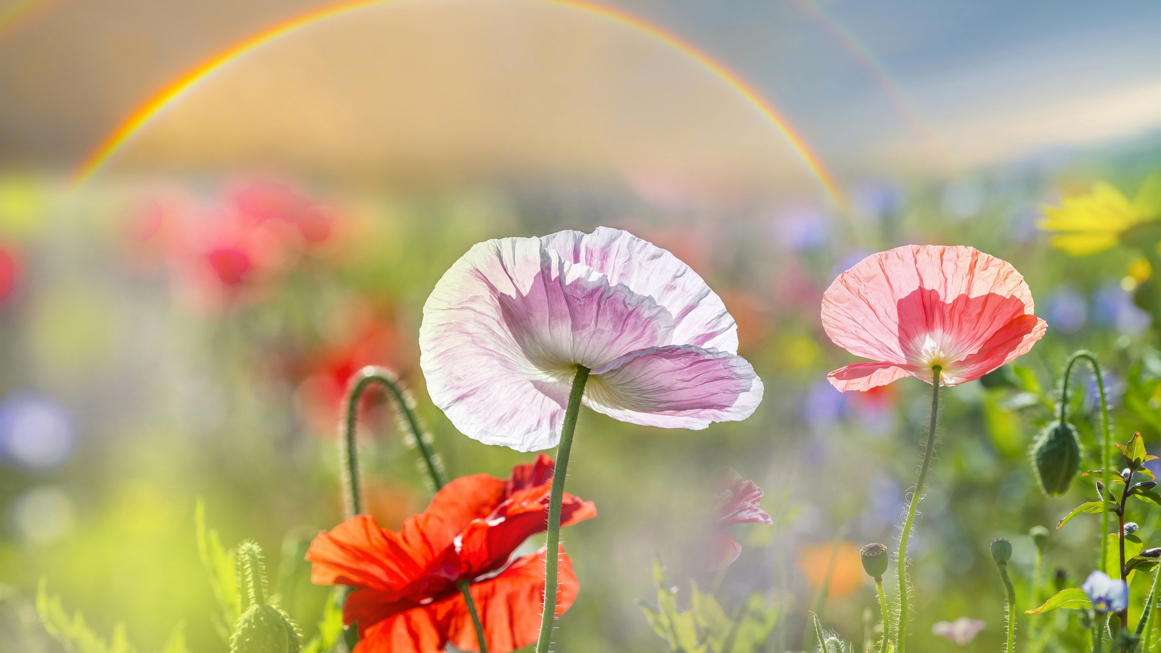 Summer Poppies Pink And Red Flowers Rainbow 1080x1920 Iphone 87
