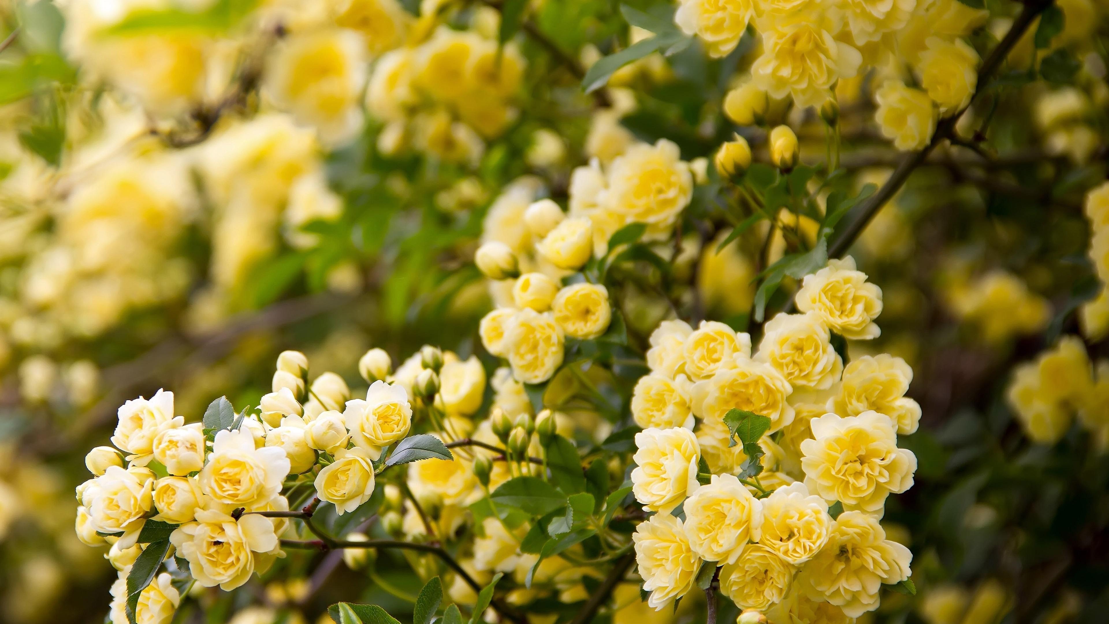 壁纸 黄玫瑰花,花园 3840x2160 UHD 4K 高清壁纸, 图片, 照片