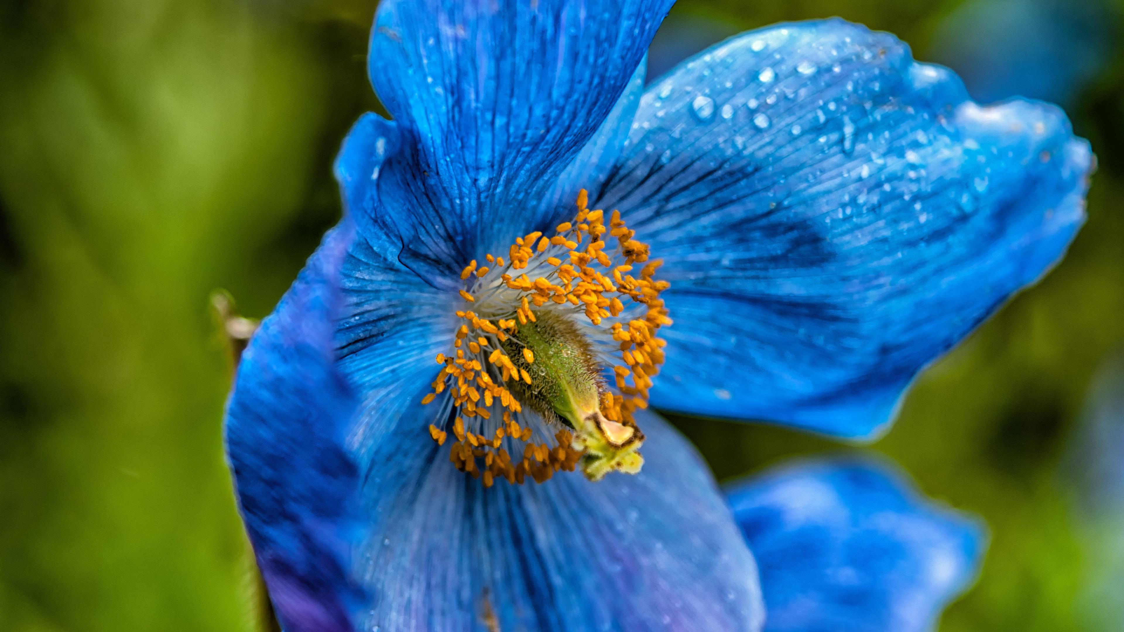 Fondos de pantalla primer de la flor de la amapola azul - Best primer for wallpaper ...