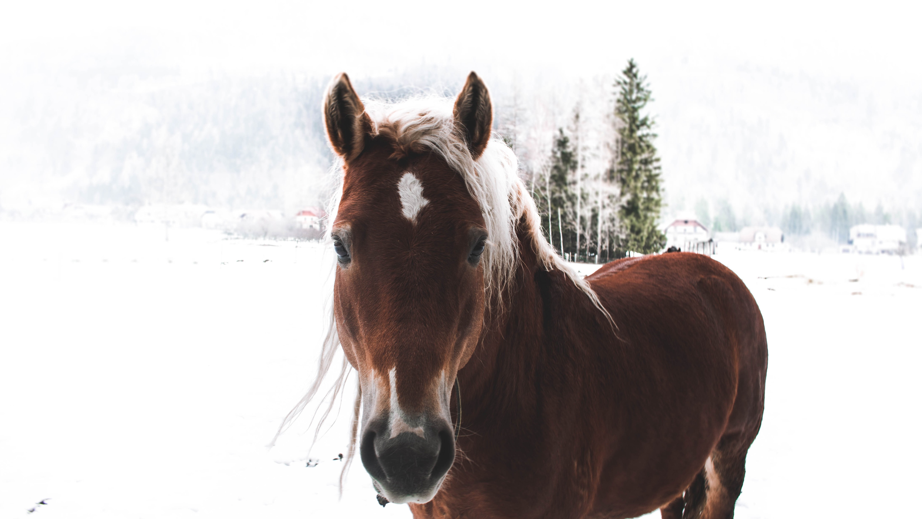 Wallpaper Brown Horse Winter Snow 3840x2160 Uhd 4k Picture