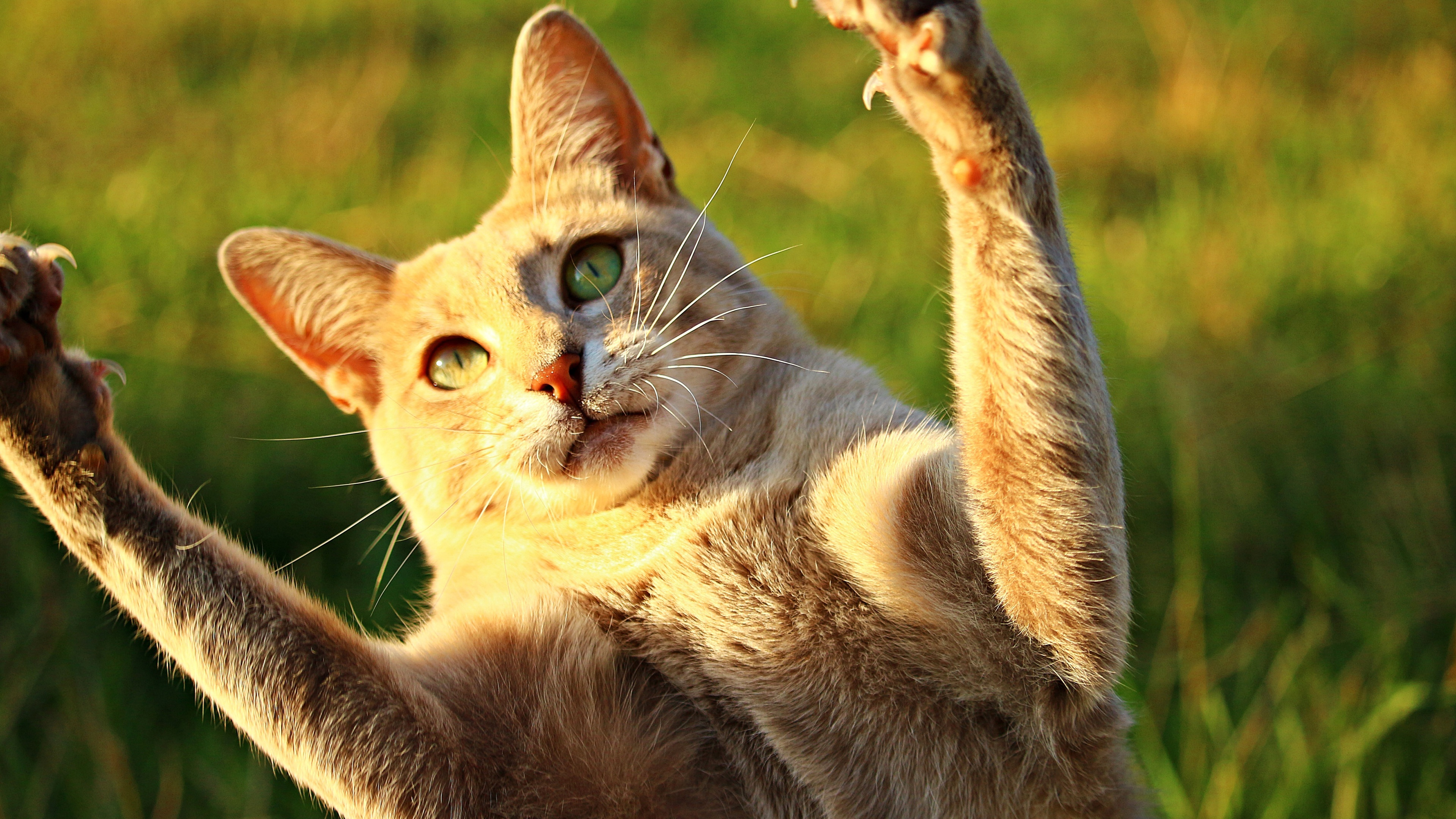 Wallpaper Cute Cat Lift Paws Up Sunshine Funny Animals