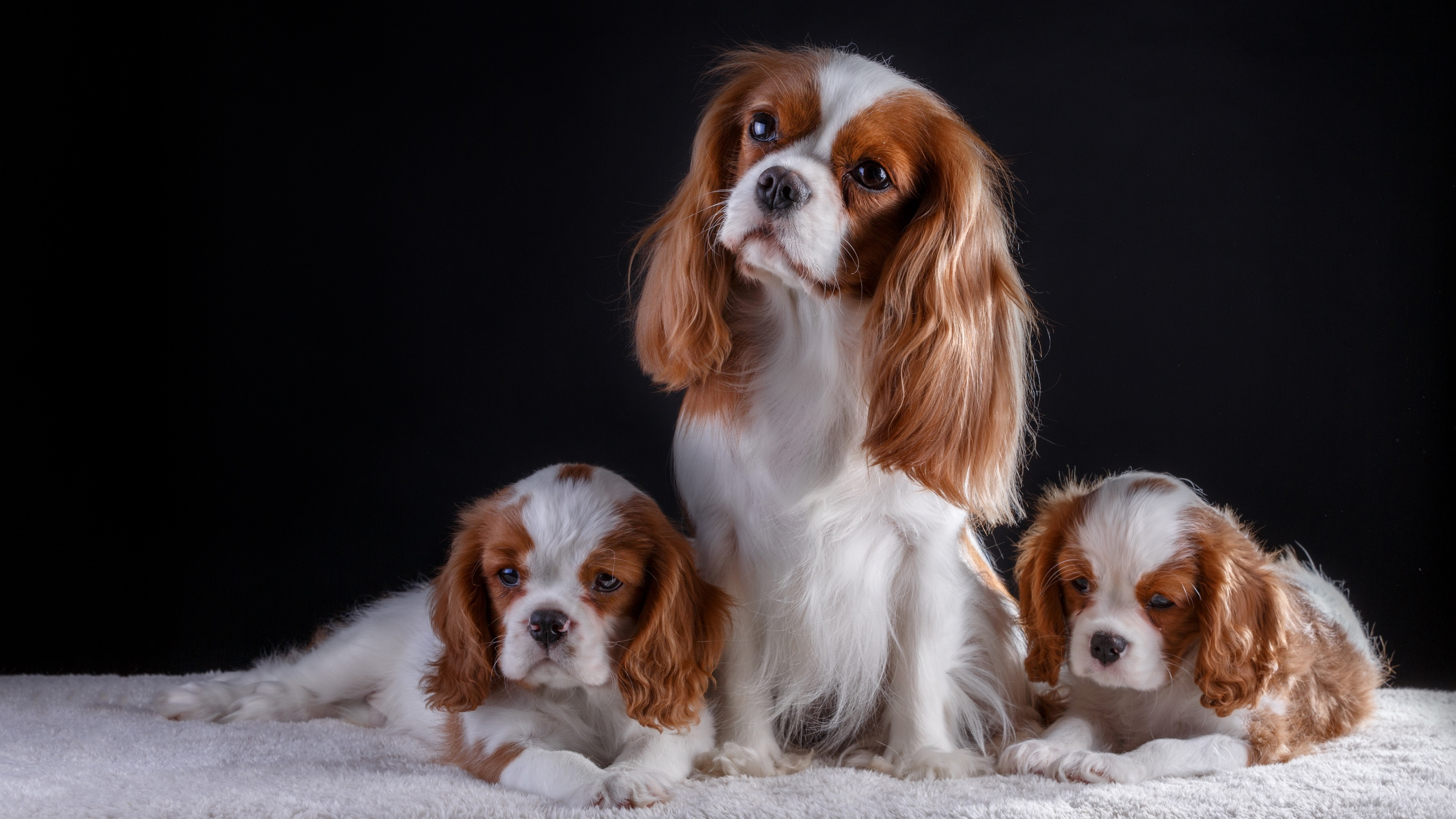 Wallpaper Three Dogs Cute Pets 3840x2160 Uhd 4k Picture Image
